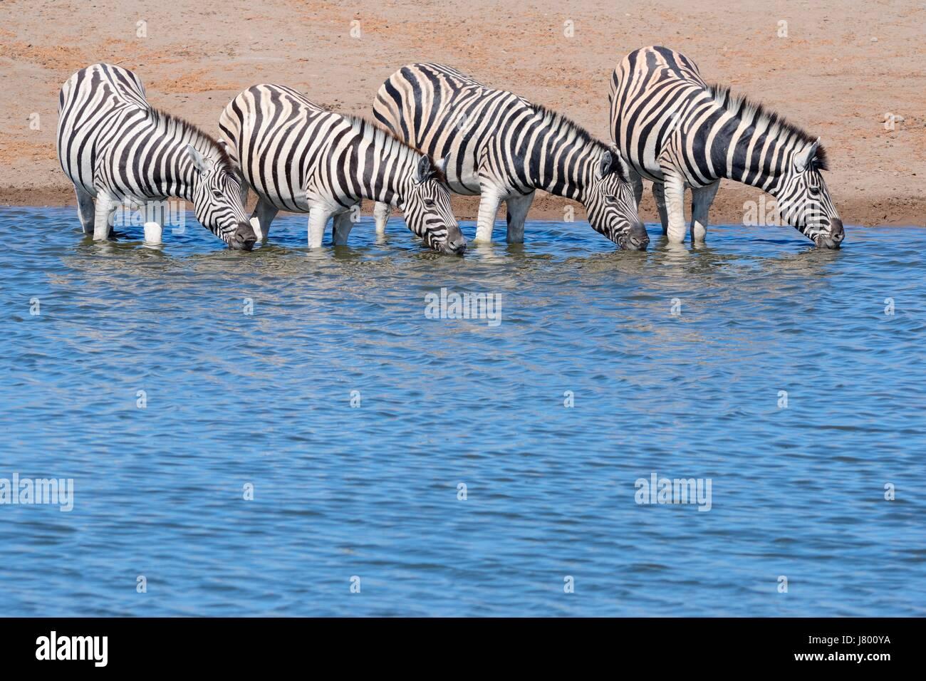 Burchell's zebras (Equus quagga burchellii) drinking at waterhole, Etosha National Park, Namibia, Africa - Stock Image