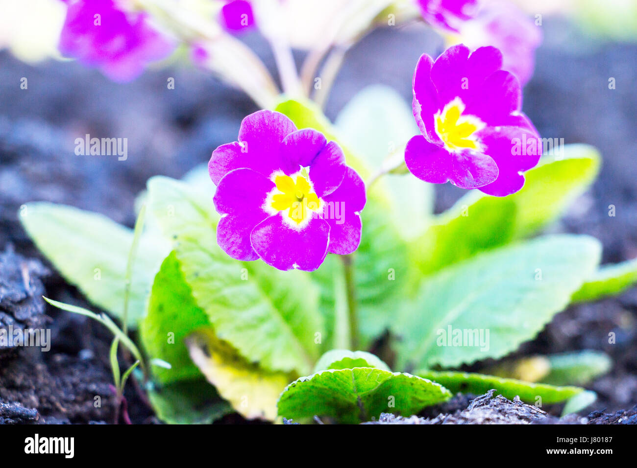 Flowers of Primula juliae - Stock Image