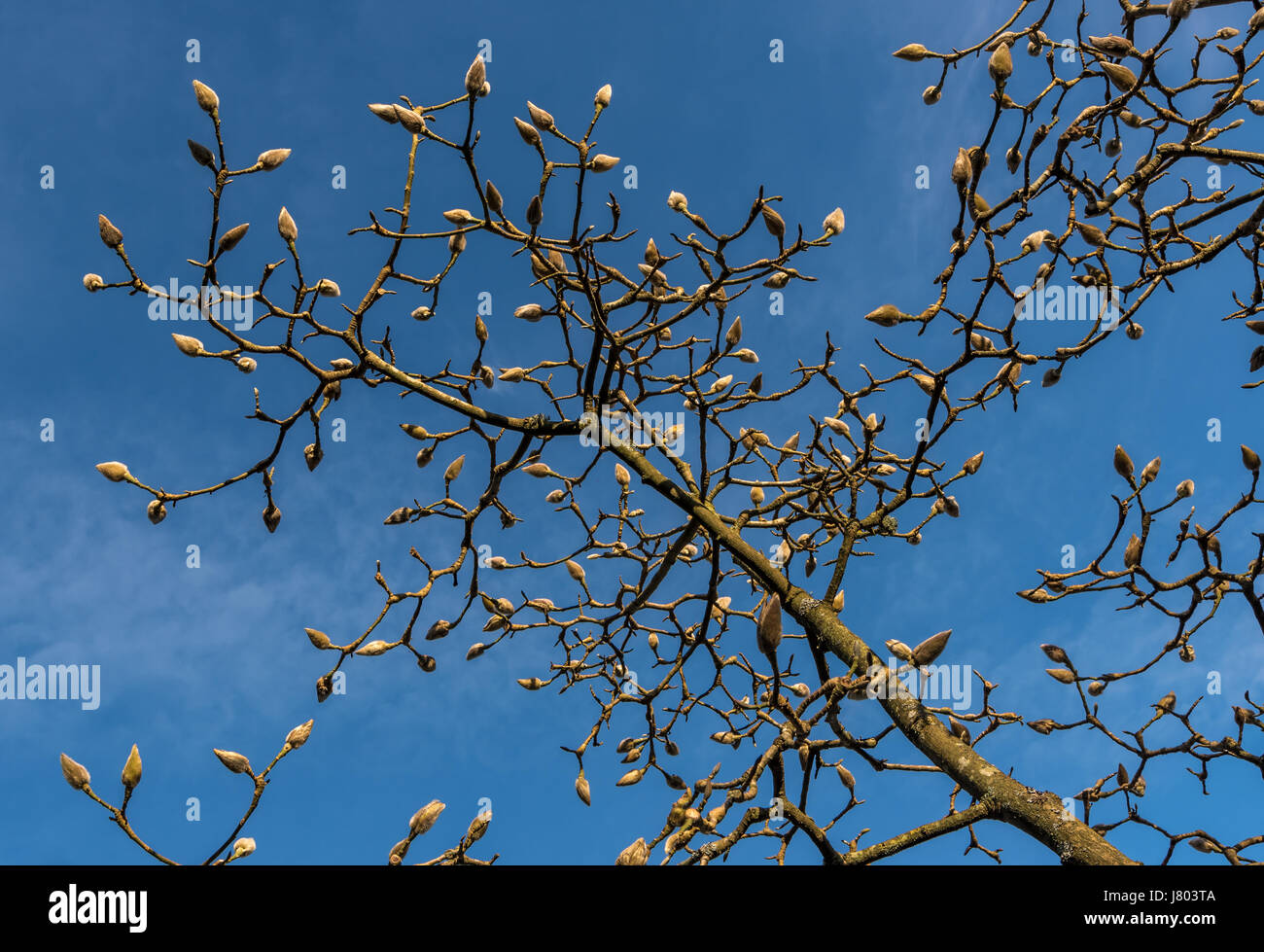 Buds on a Magnolia tree against a blue sky Stock Photo