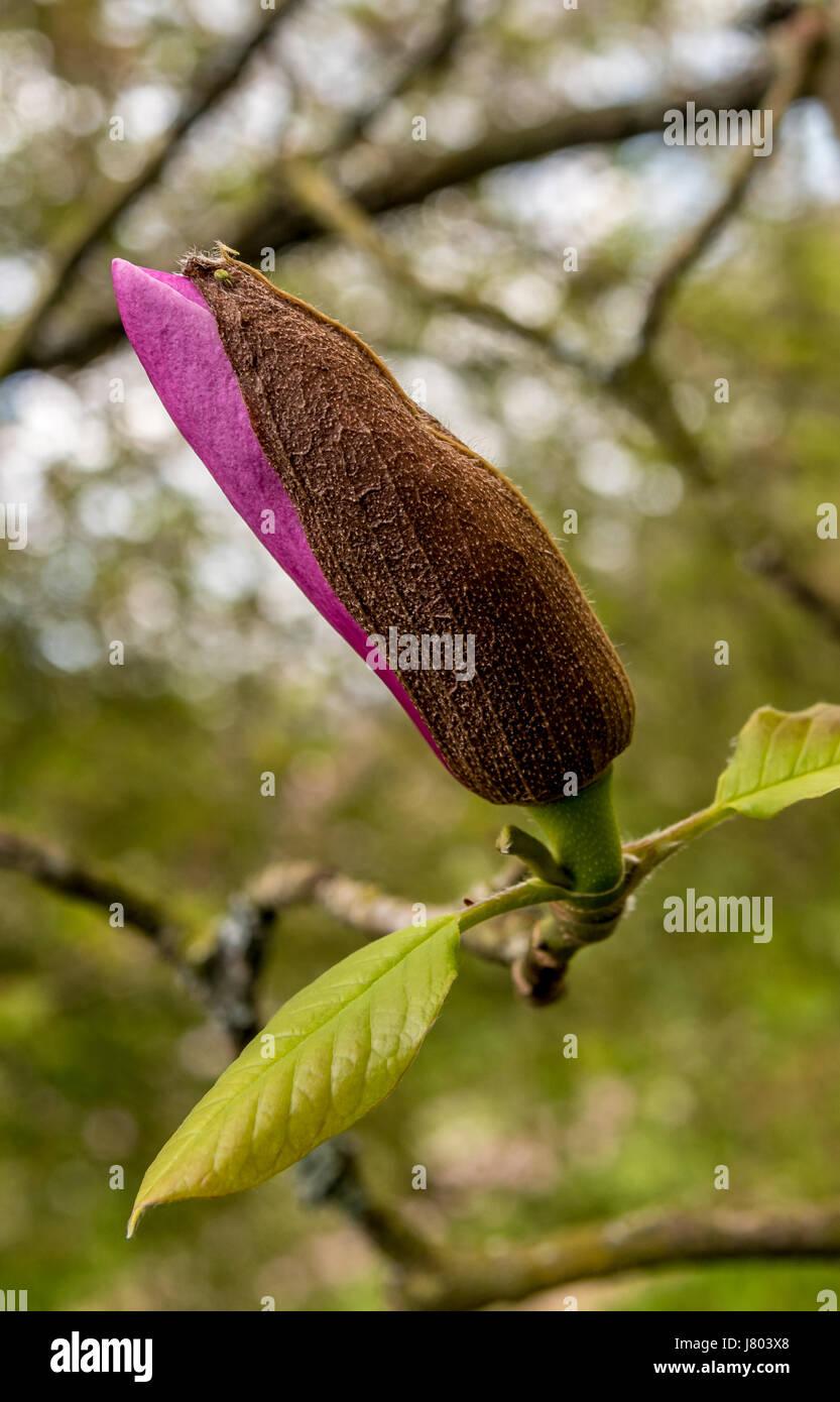 Magnolia bud just bursting into flower Stock Photo