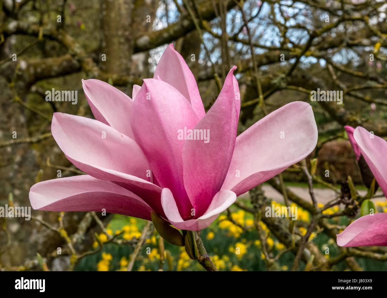 Deep pink Magnolia flower Stock Photo