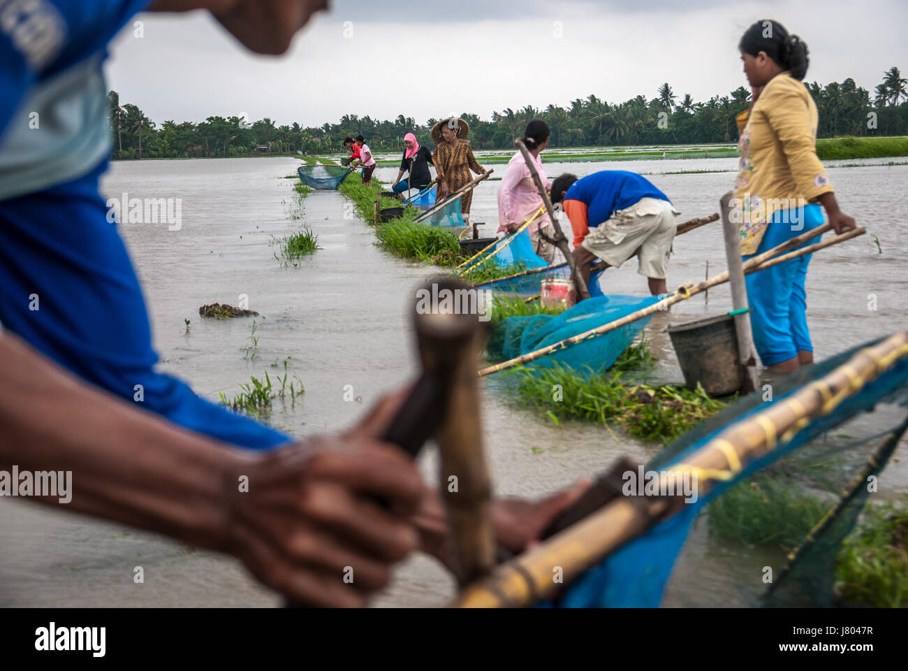 Farmers catch fishes using fish nets on flooded rice field during monsoon in West Java, Indonesia. © Reynold - Stock Image