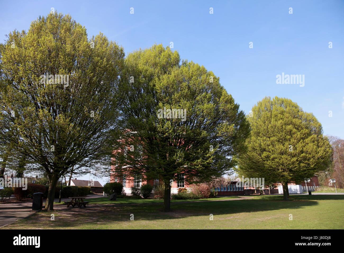 A row of three hornbeam trees Stock Photo