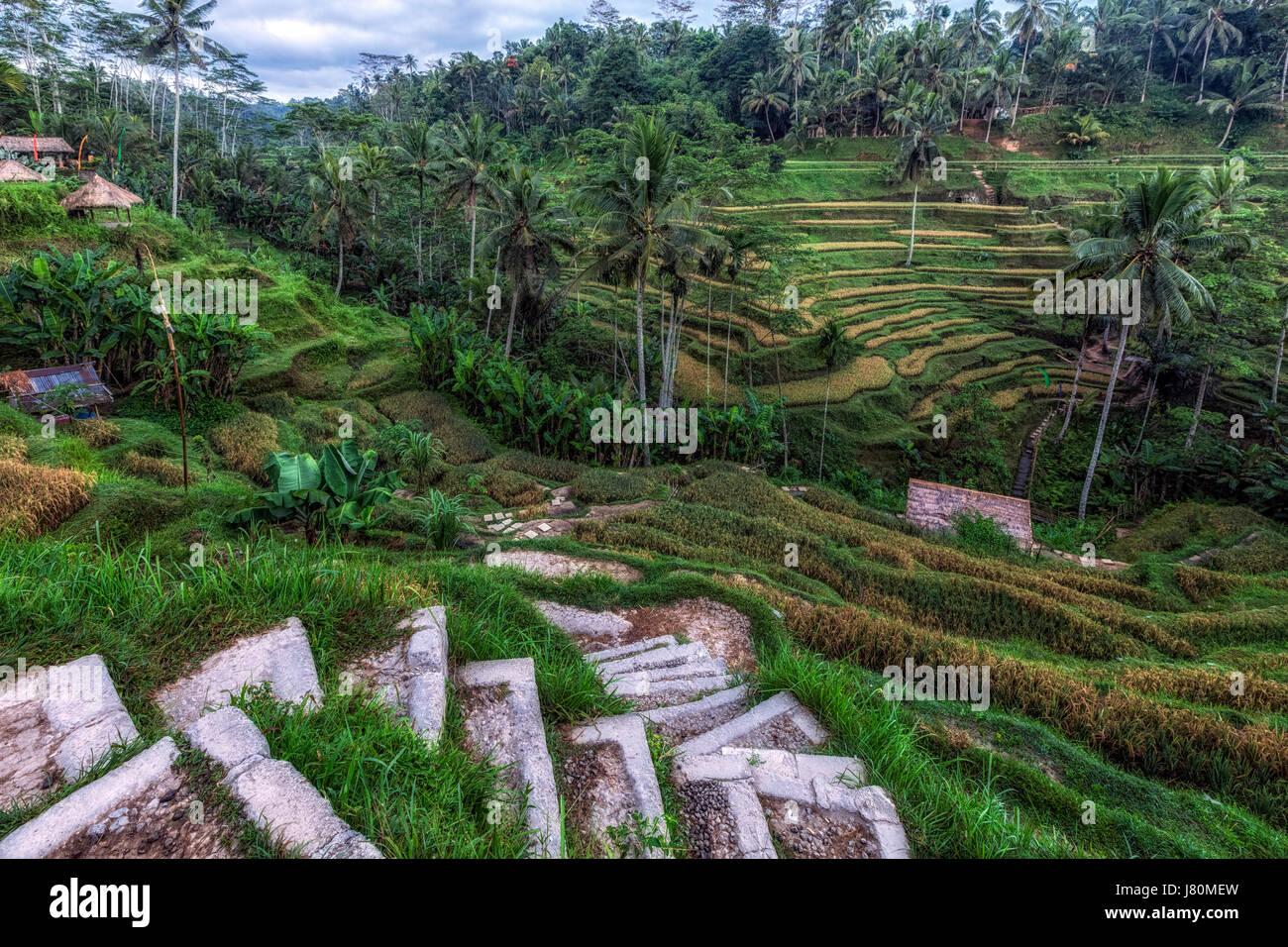 Tegalalang, Rice Fields, Ubud, Bali, Indonesia, Asia - Stock Image