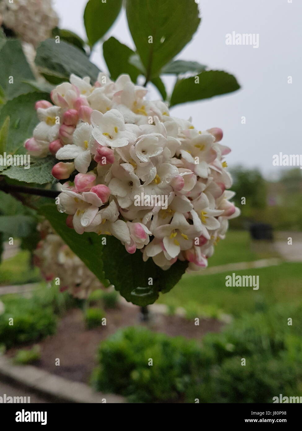 Pink and white flowers blooming with fresh rain droplets on it during spring  weather - Stock Image