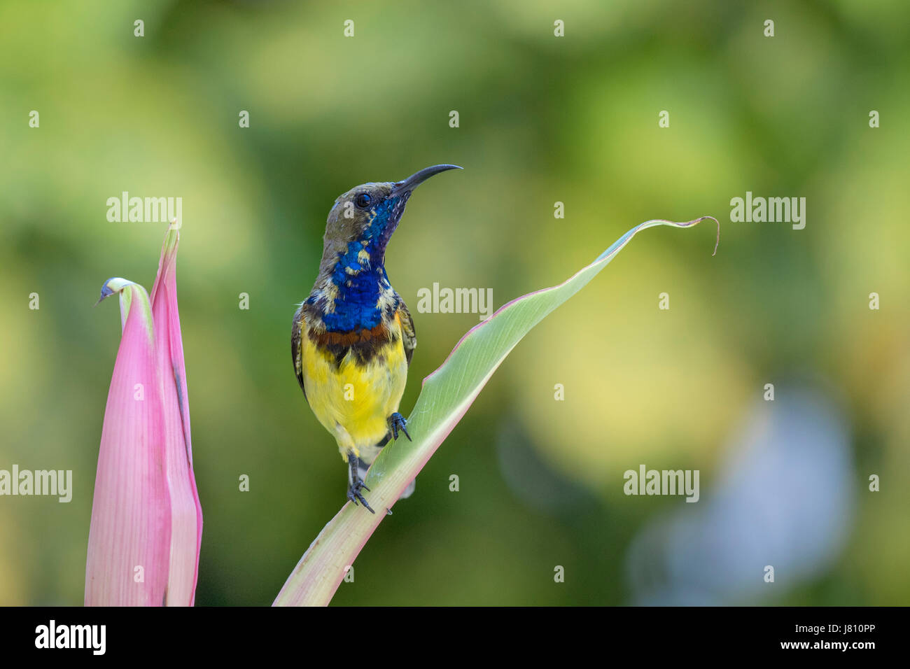Colourful male olive-backed sunbird (Cinnyris jugularis) perching on a leaf looking to the right after feeding on - Stock Image