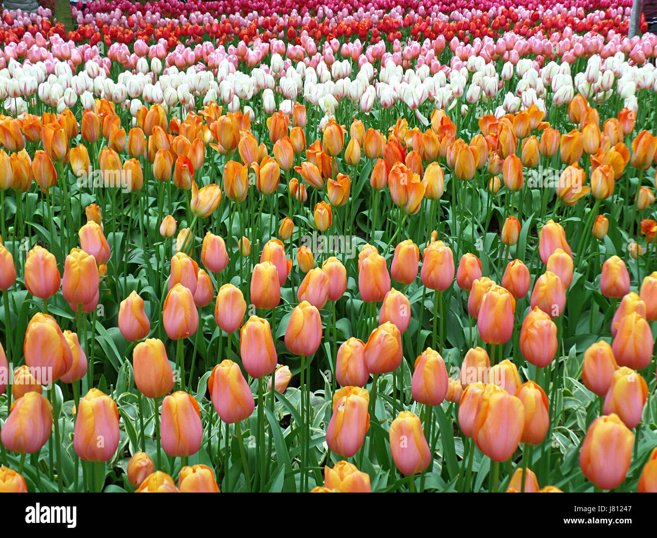 Vibrant Color Blooming Two-Tone Tulip Flowers in Keukenhof Garden in Lisse, The Netherlands - Stock Image