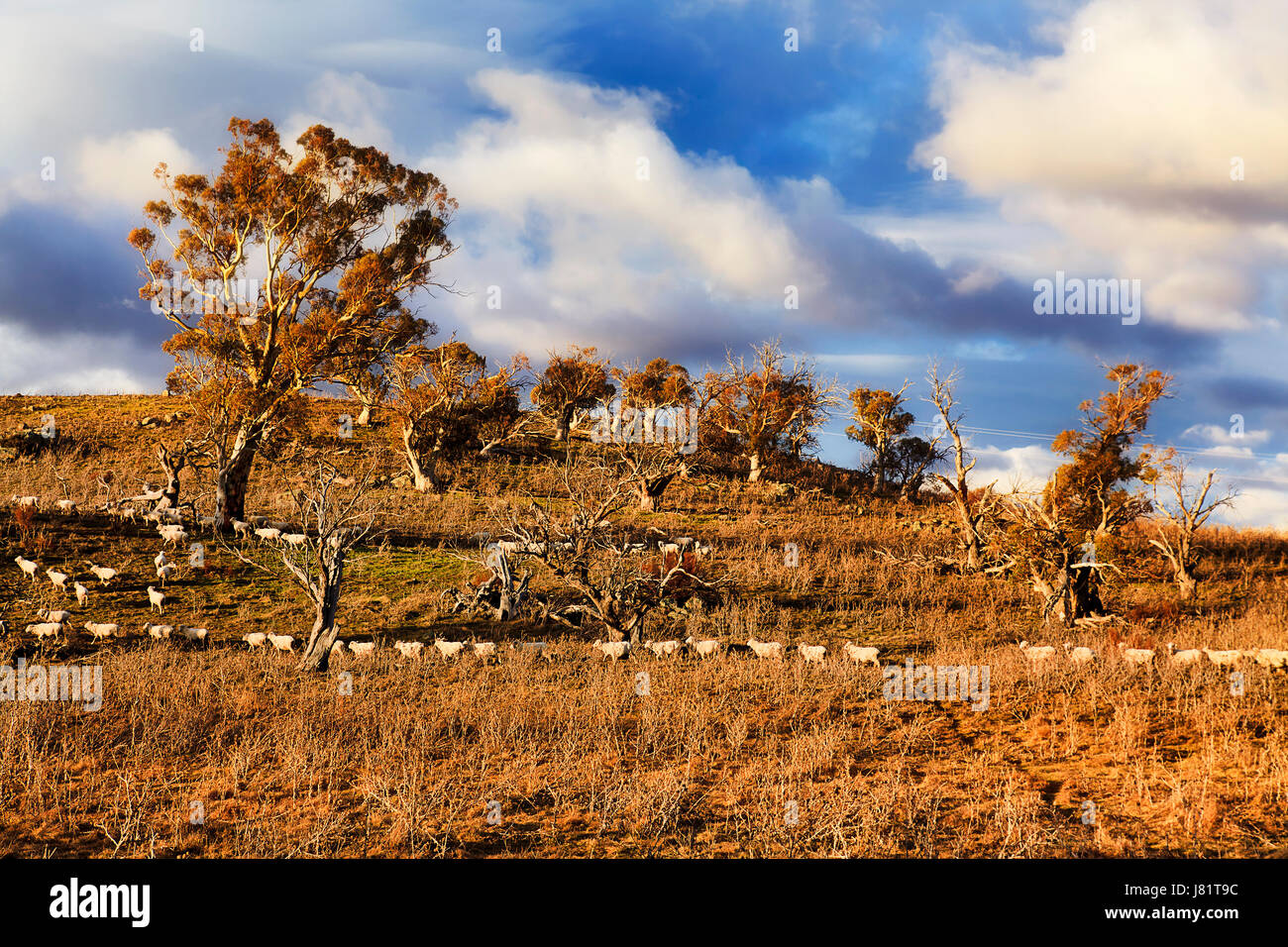 A horde of merino wool sheep grazing in hills agriculture farm in Thredbo valley of Snowy Mountains during dry and - Stock Image