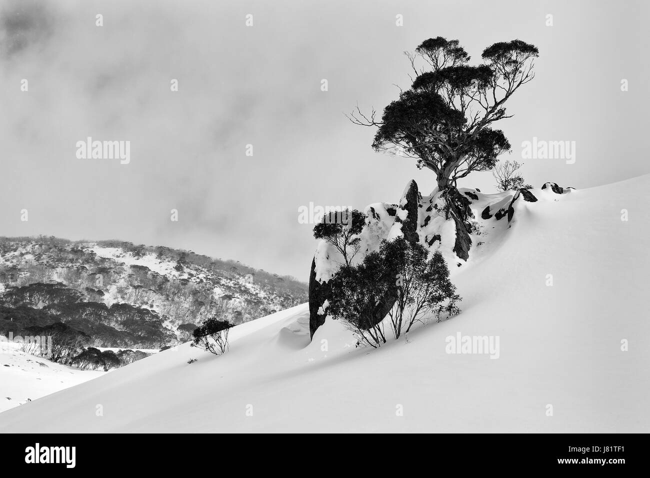 Steep slope of snow covered mountain in Perisher valley with lonely snowgum tree and rocks - kosciuszko national Stock Photo
