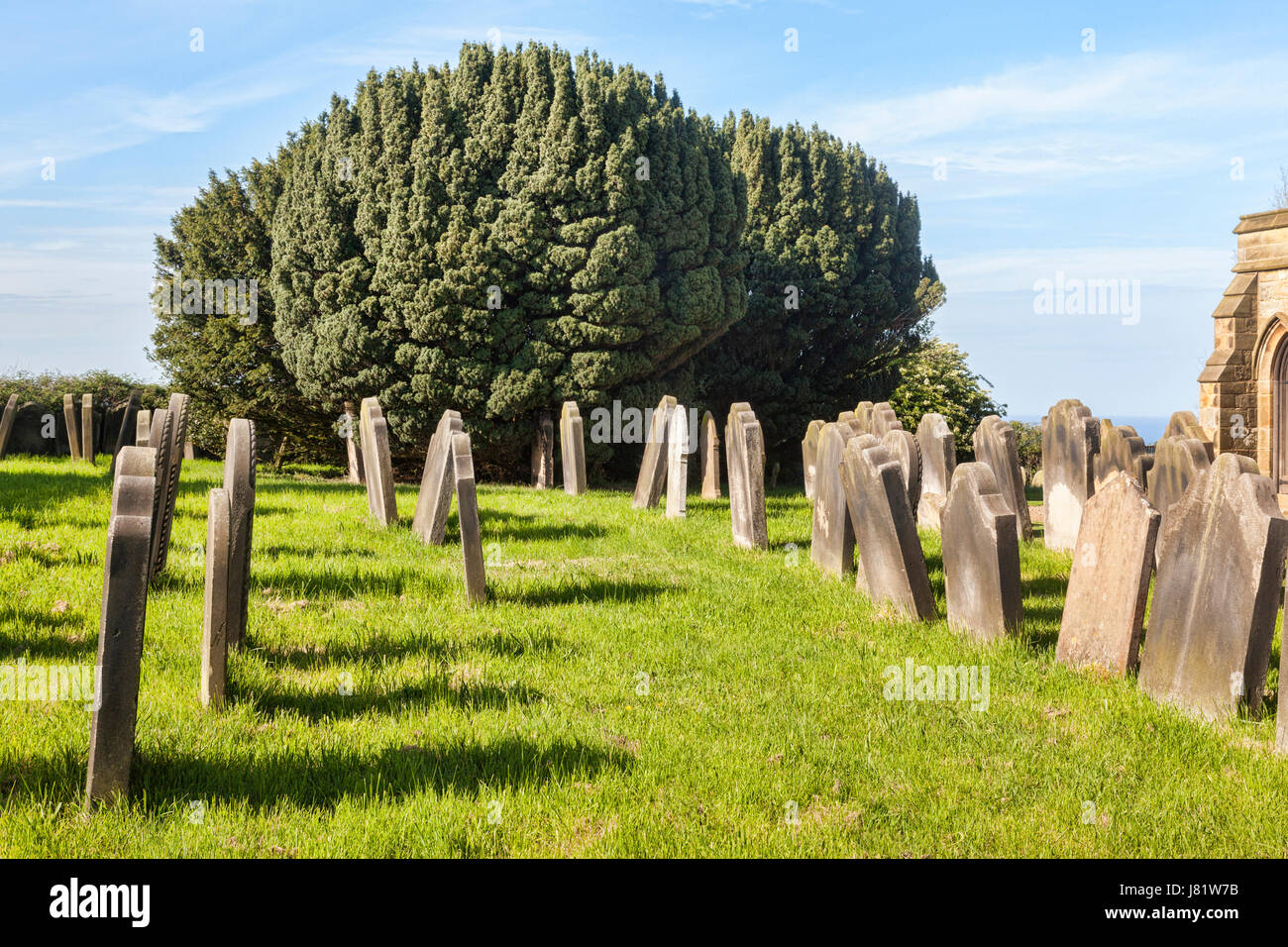 Yew tree (taxus baccata) growing in a churchyard alondgside graves, with which they have long been associated. This - Stock Image