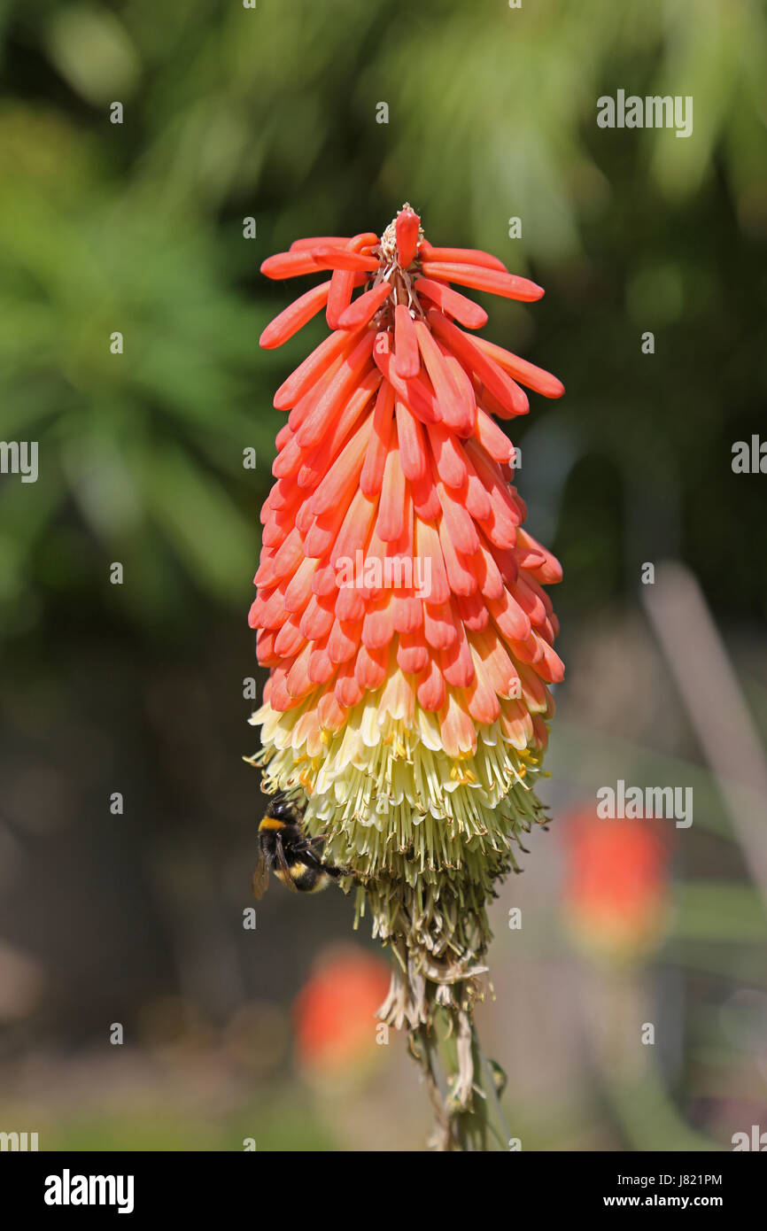 Close up of a bee on a Kniphofia Timothy flower in a south London garden. Also known as Red Hot Poker. - Stock Image