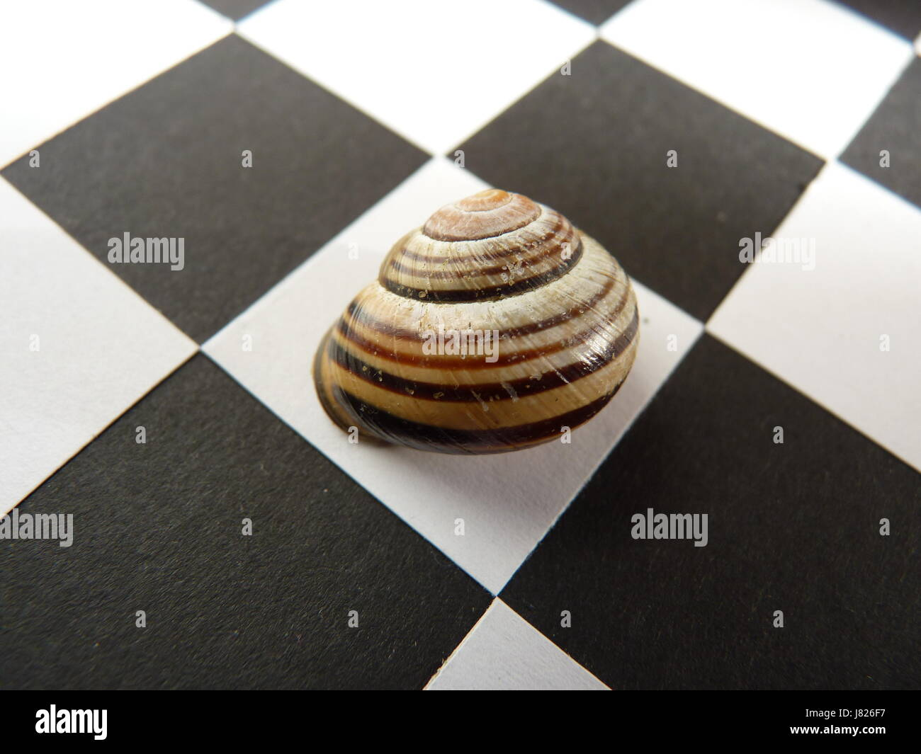 MolluscMultiple striped snail shells displayed on a black and white chequer board. Squared on. - Stock Image