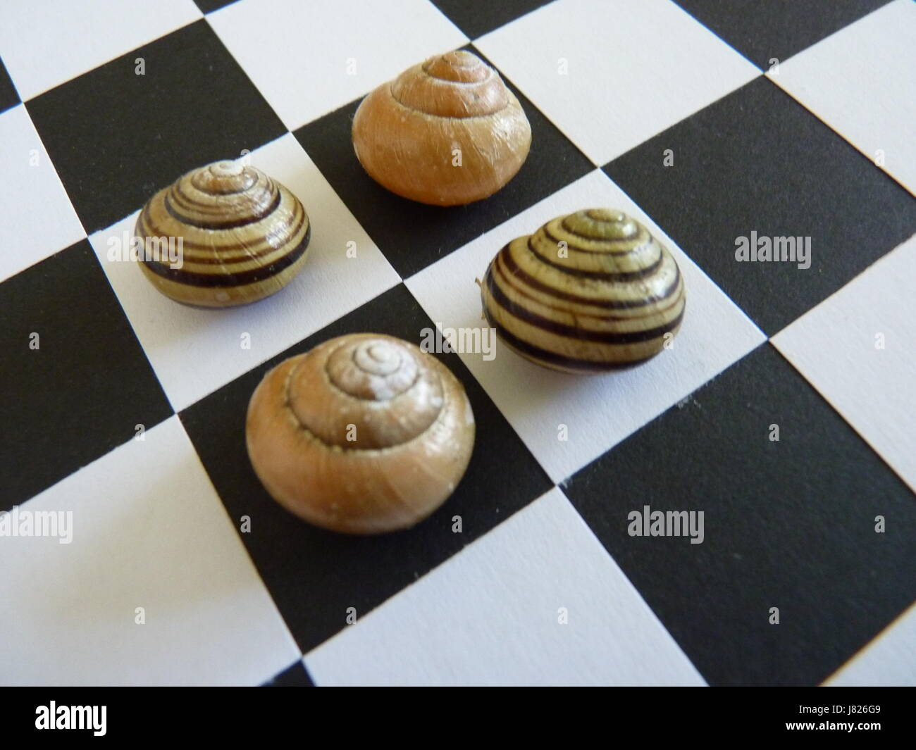 Multiple striped snail shells displayed on a black and white chequer board. Squared on. - Stock Image