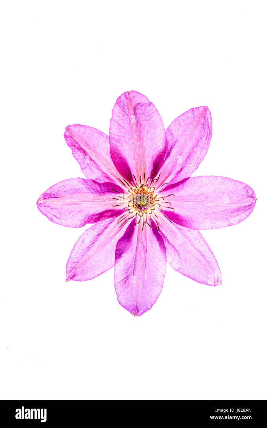 Diaphonous petals on an eightfold mauve coloured flower of a climbing plant Stock Photo