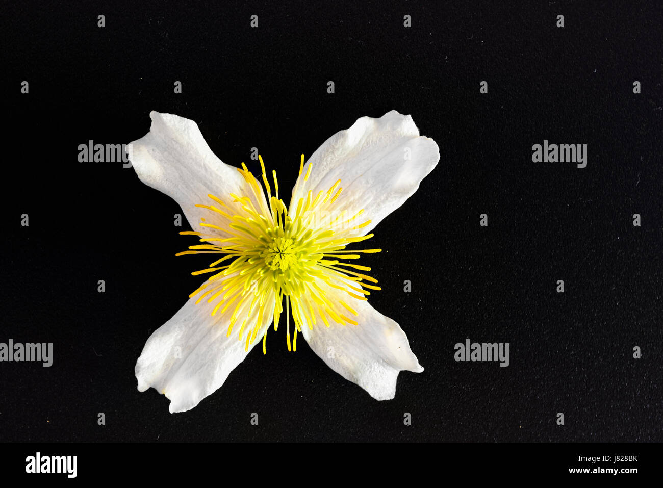 cross or cruciform shape on the white and yellow bloom of a climbing plant Stock Photo