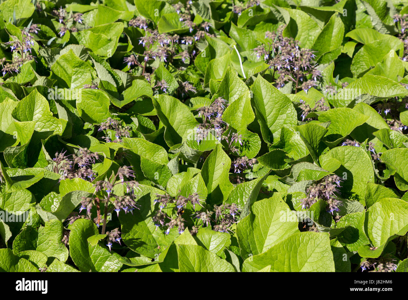 Abraham-Isaac-Jacob, (Trachy stemon orientalis), perrenial plant, Weir Garden, Swainshill, Hereford, England, UK - Stock Image