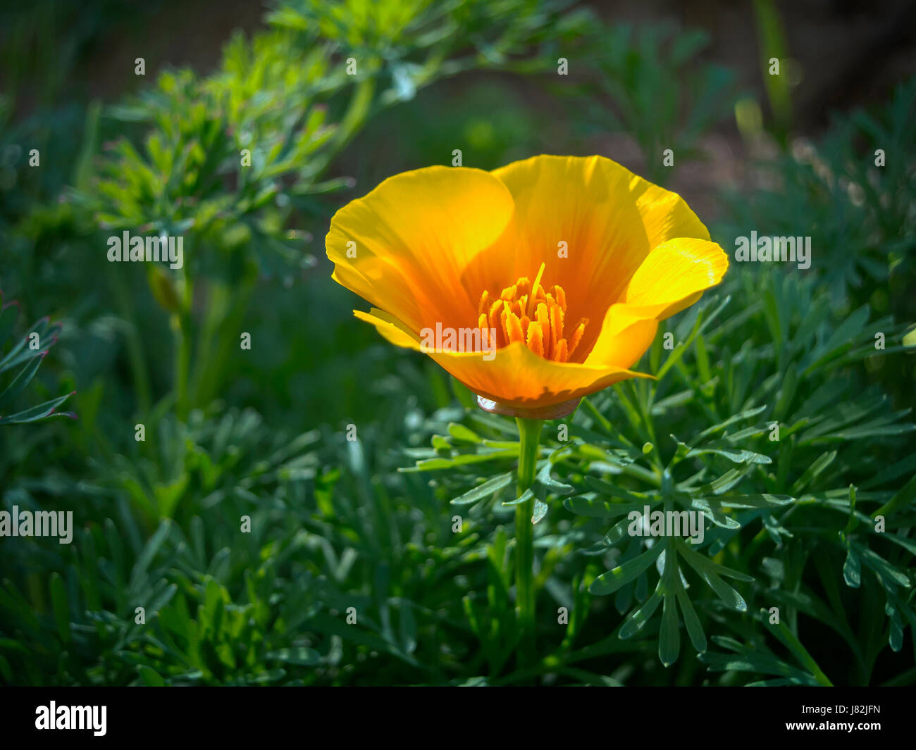 Image of a California growing in the wild at a local Norther California county park. - Stock Image