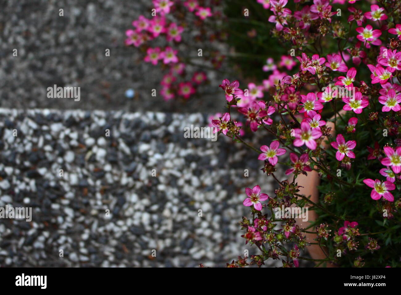 pink flowers contrast again black and white stone stairs - Stock Image