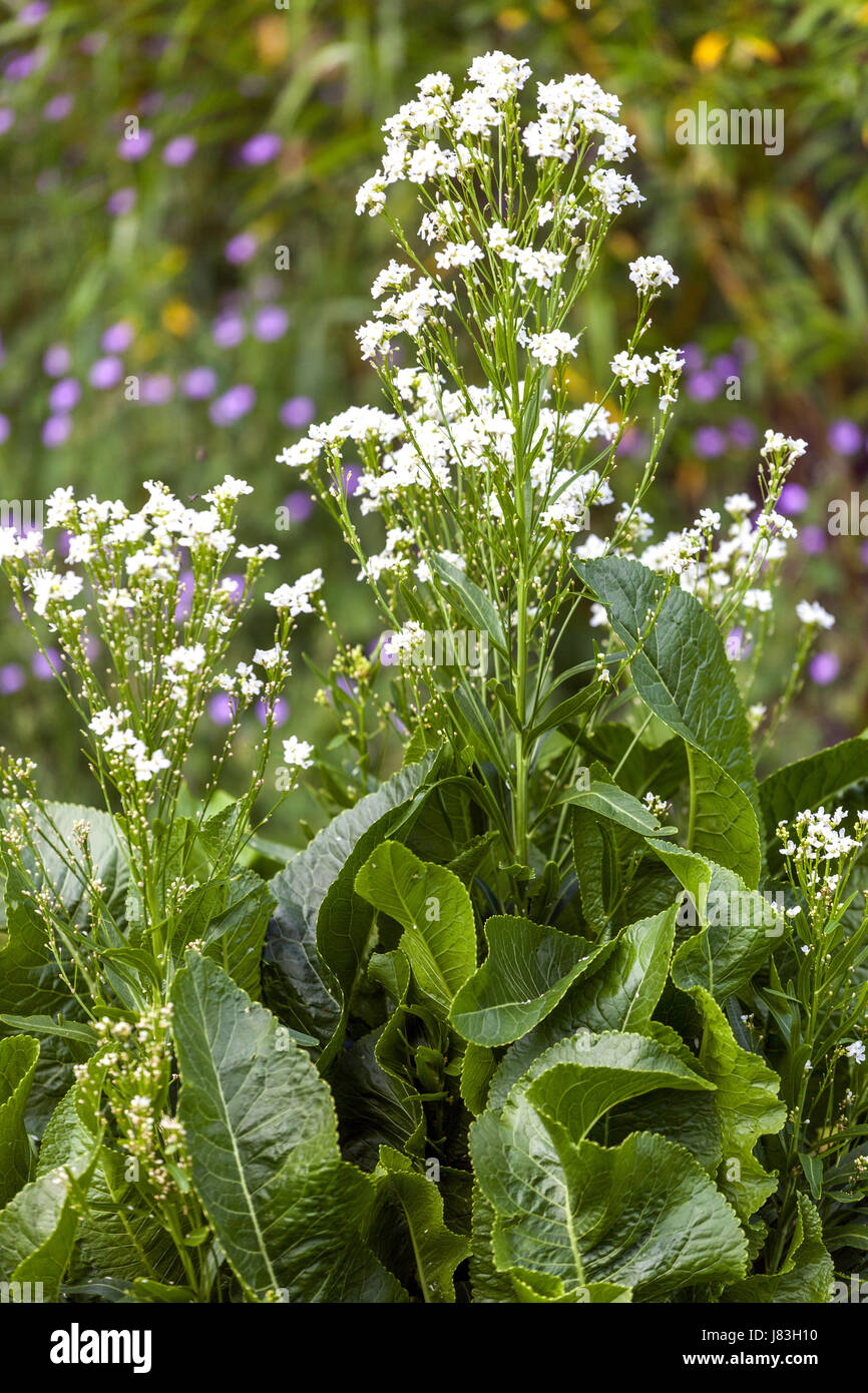 Horse-radish, Armoracia rusticana, blooming and leaves - Stock Image
