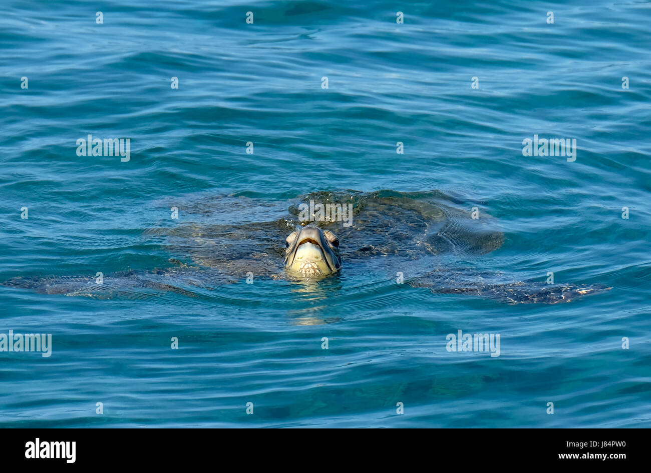 A Green Sea Turtle swimming of the coast of Maui. Hawaii - Stock Image