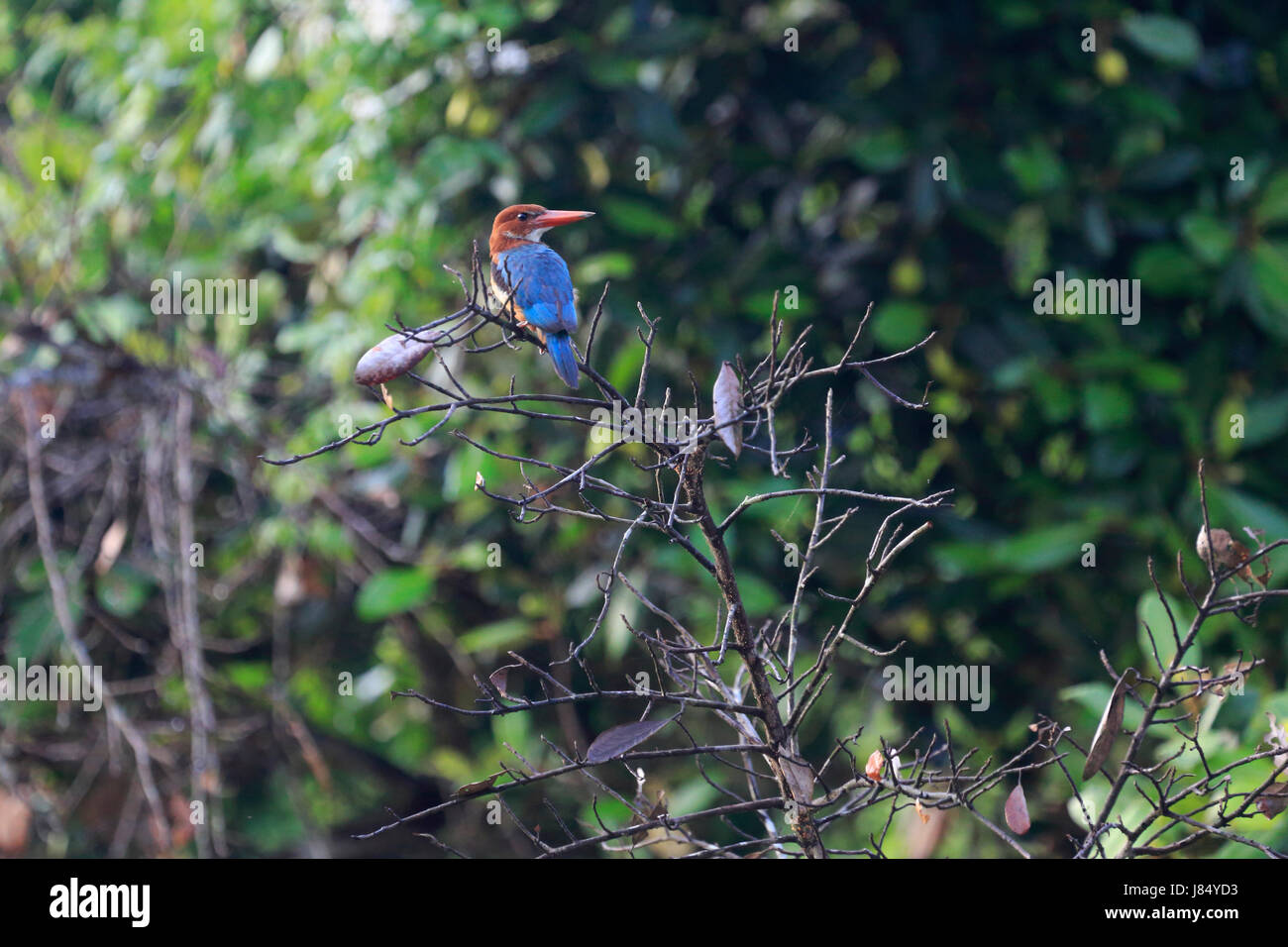 White-throated kingfisher (Halcyon smyrnensis) perched on branch in Bangladesh Sundarbans - Stock Image