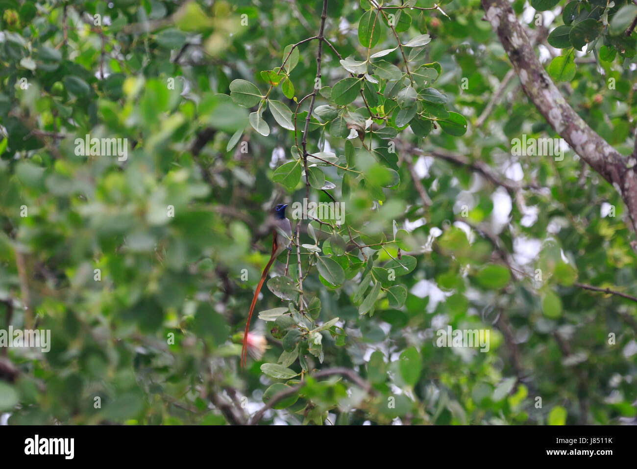 Asian paradise flycatcher (Terpsiphone paradisi) in the world largest mangrove forest Sundarbans, famous for the Stock Photo