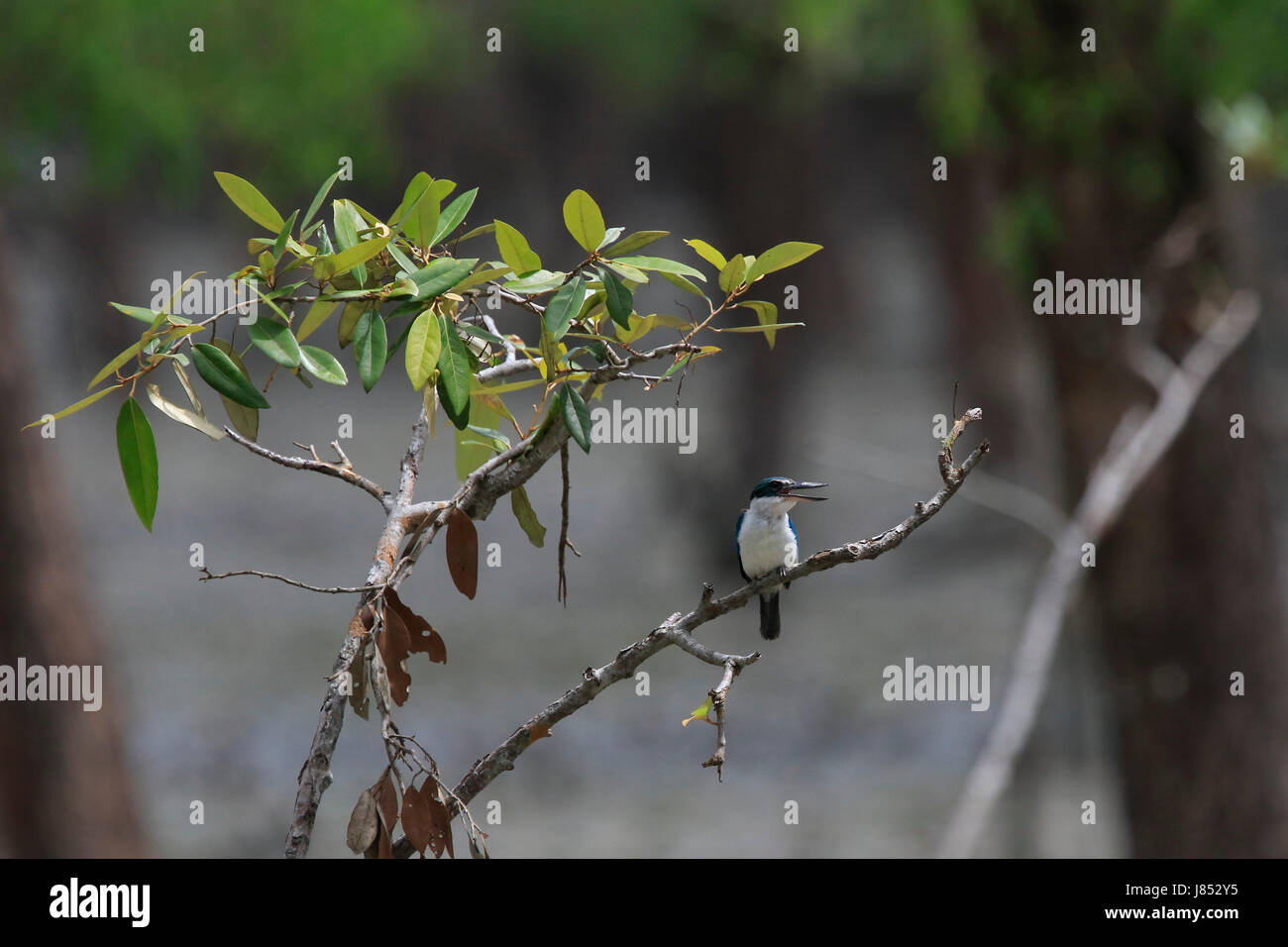 Collared kingfisher (Todiramphus chloris) in the world largest mangrove forest Sundarbans, famous for the Royal Stock Photo