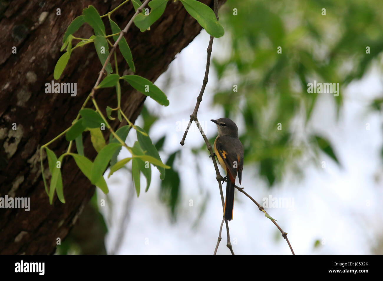 Small minivet (Pericrocotus cinnamomeus) in the world largest mangrove forest Sundarbans, famous for the Royal Bengal Stock Photo