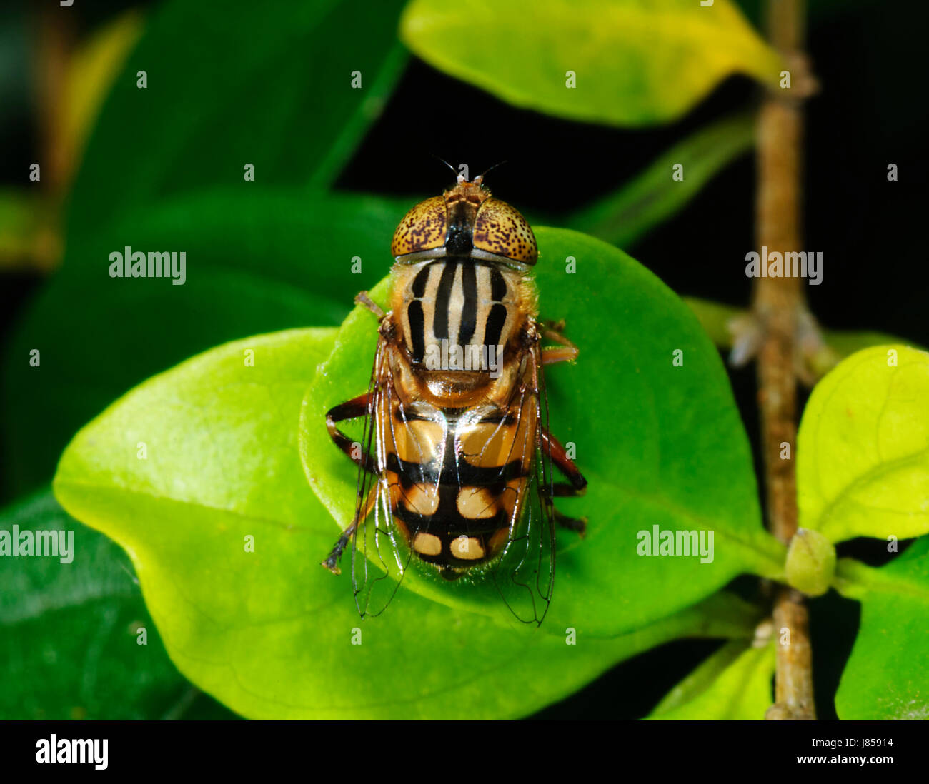 Native Drone Fly (Eristalinus punctulatus), New South Wales, NSW, Australia - Stock Image
