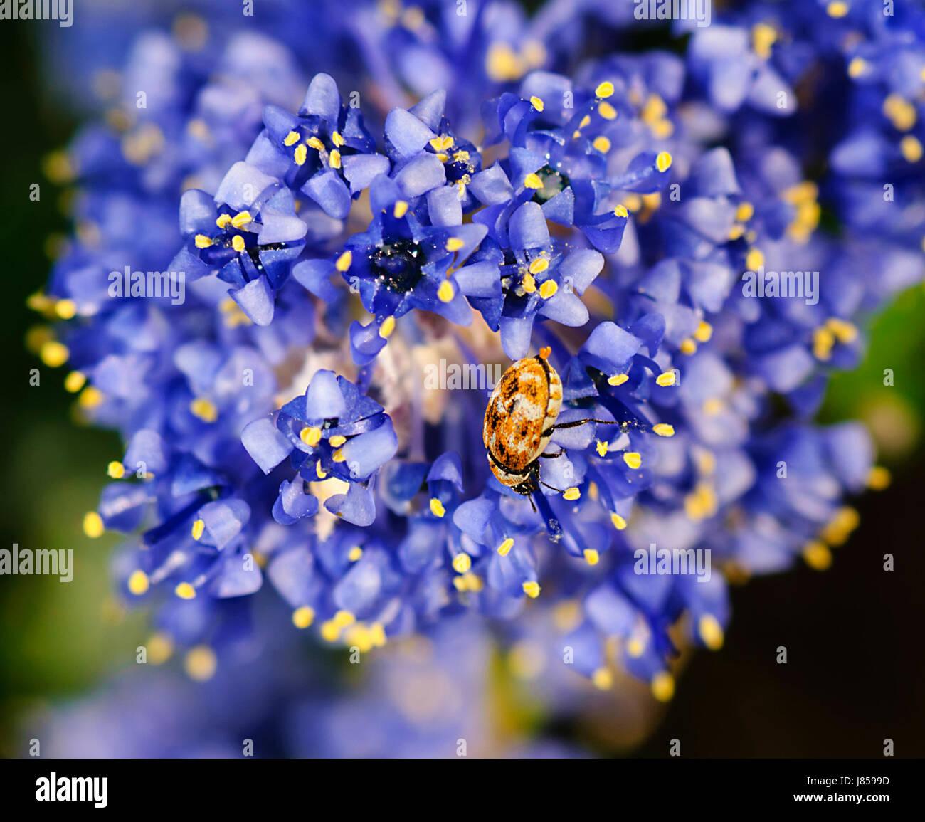 Varied Carpet Beetle (Anthrenus verbasci) is an introduced pest in Australia Stock Photo