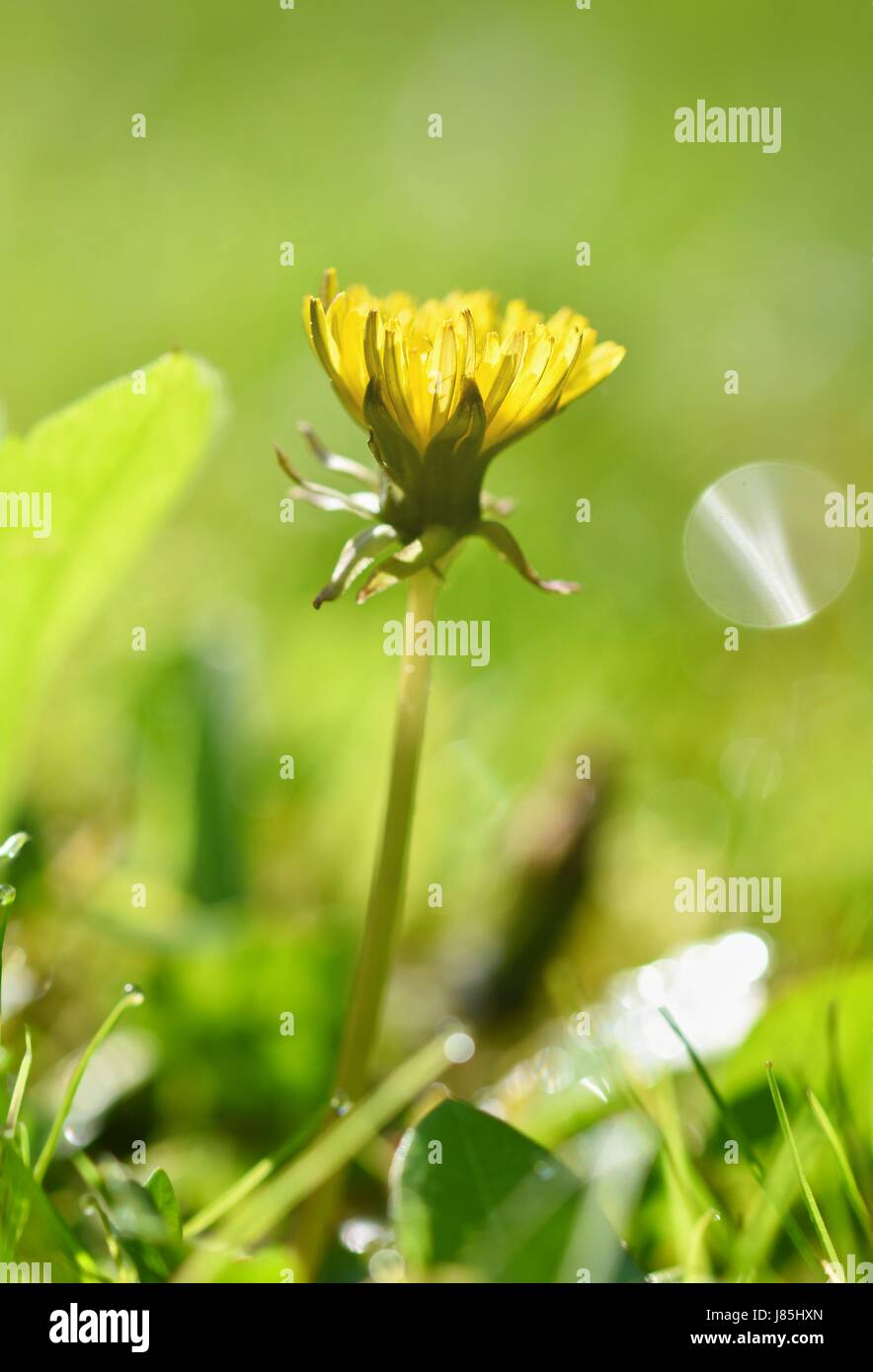 Beautiful natural background of green grass and dandelion