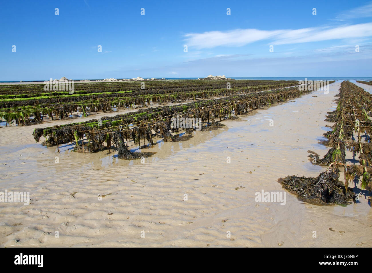 jersey bed of oysters food aliment savoir vivre shell gastronomy algae bay Stock Photo