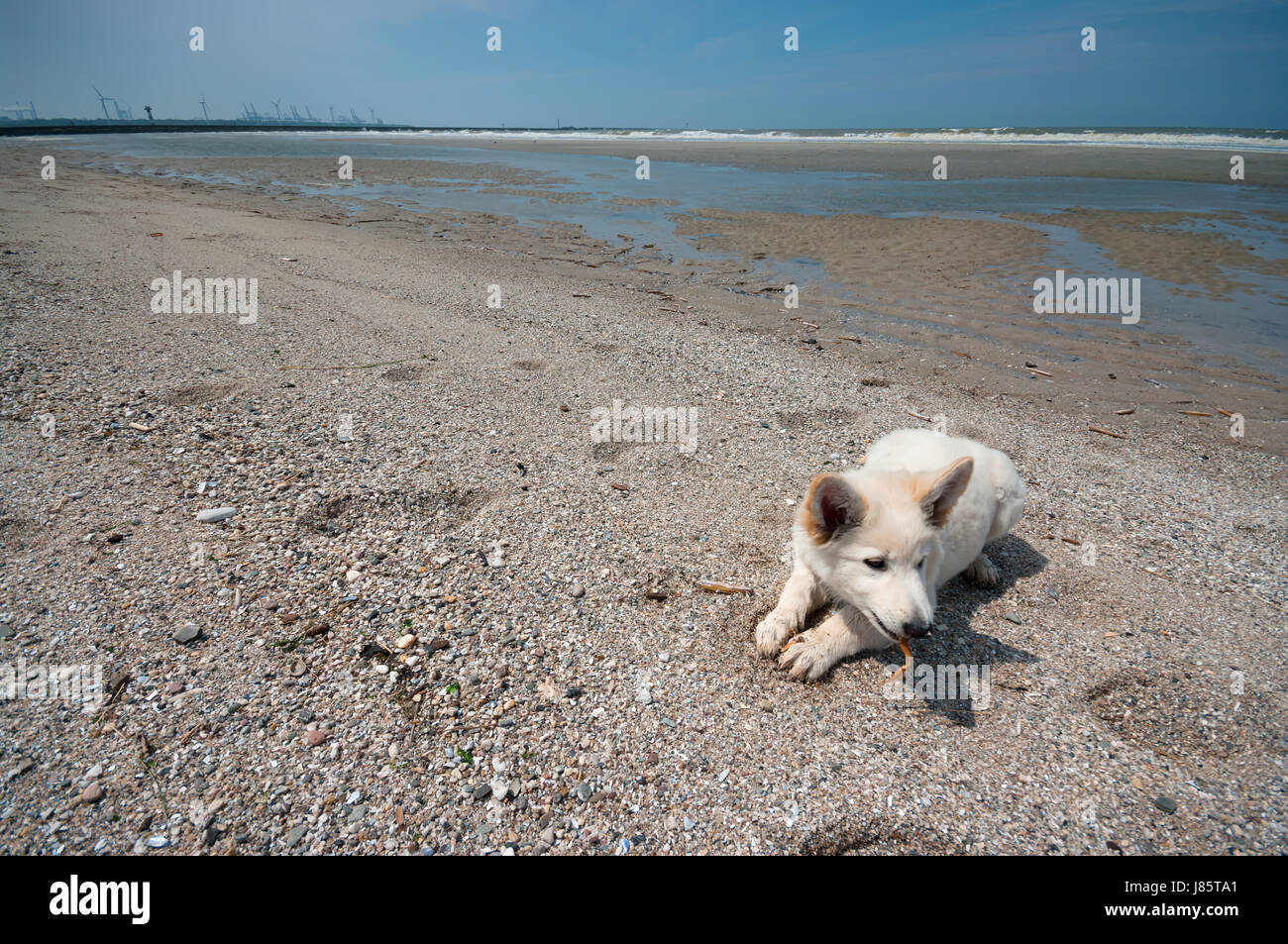 Little swiss shepherd dog lying on a beach, Rotterdam, Netherlands - Stock Image