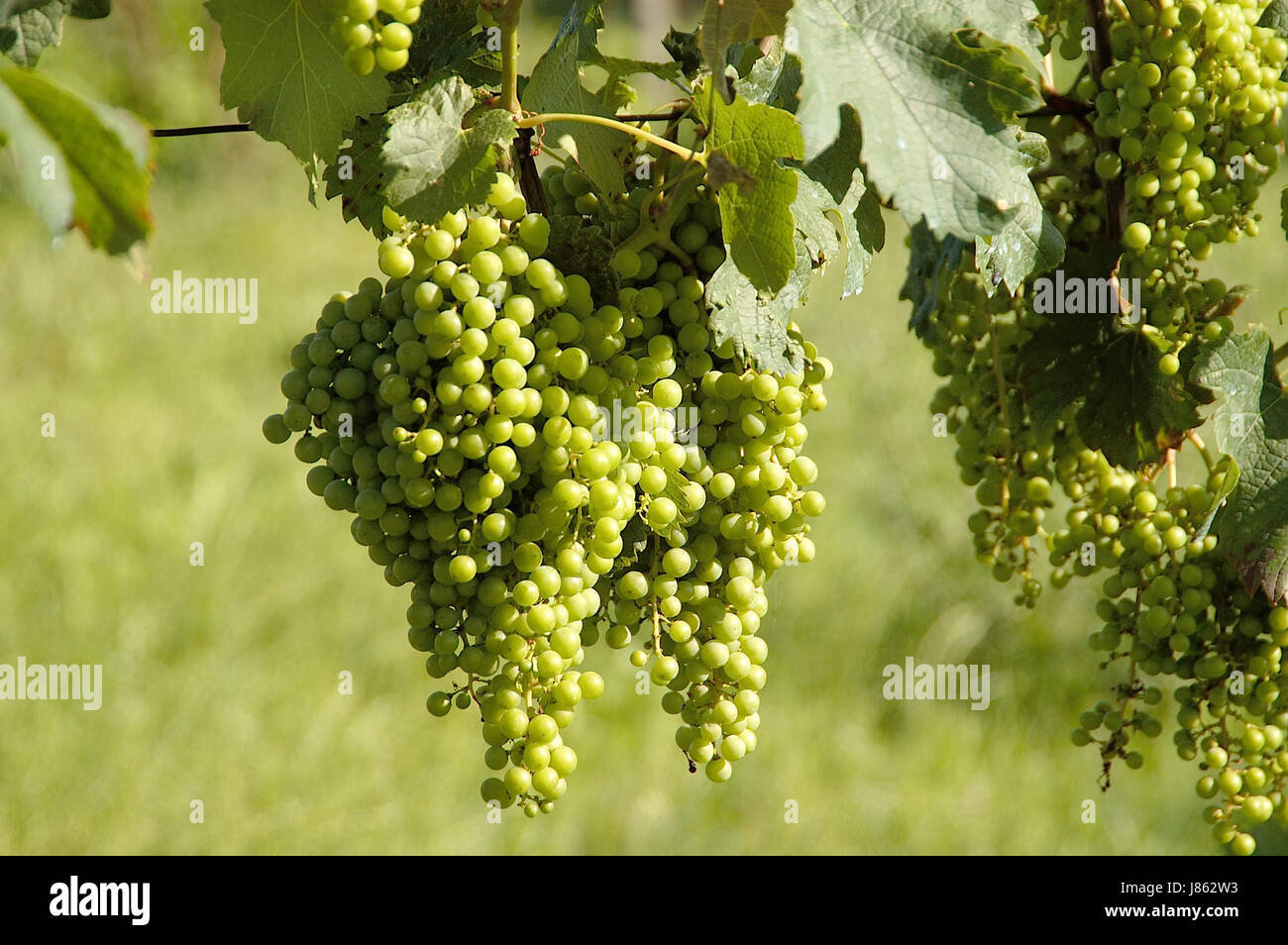 grapes progenies fruits cultivation of wine vine grape vine grape-vine bunches Stock Photo