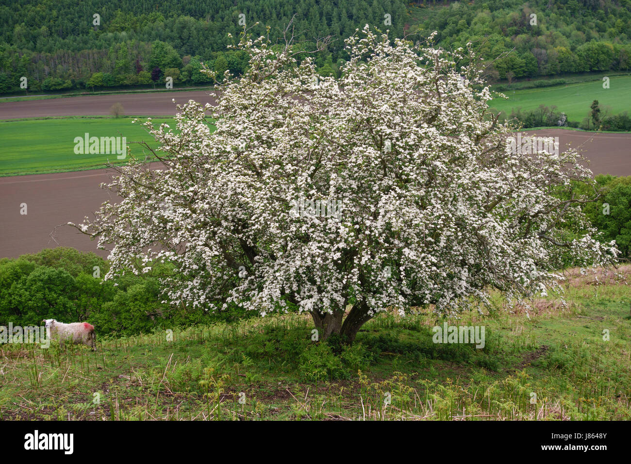 Hawthorn tree (crataegus monogyna), also known as May or whitethorn, in full bloom on Herrock Hill on the Offa's - Stock Image