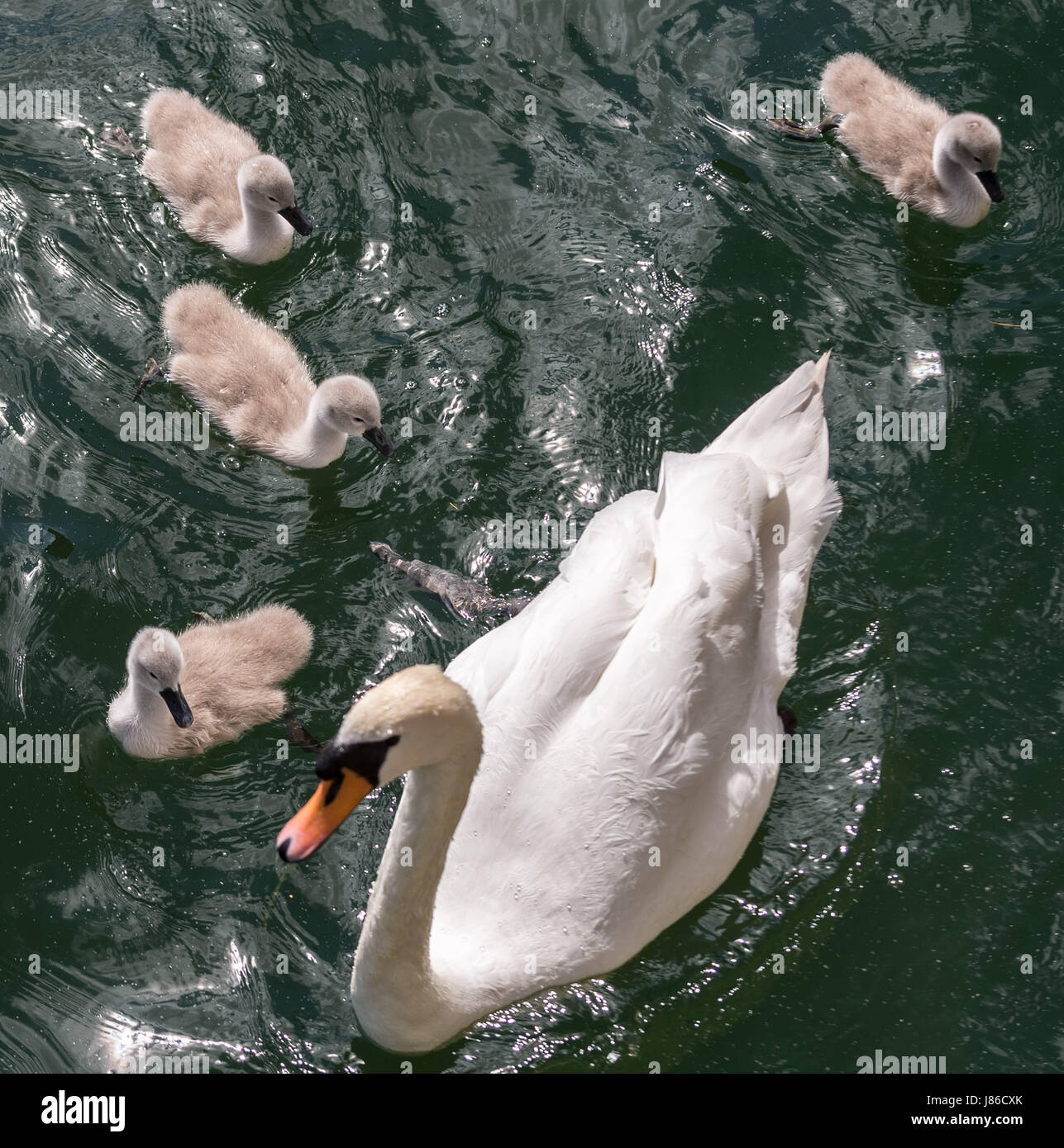 London, UK. 27th May, 2017. Mute swan with cygnet hatchlings on Canada Water pond © Guy Corbishley/Alamy Live - Stock Image