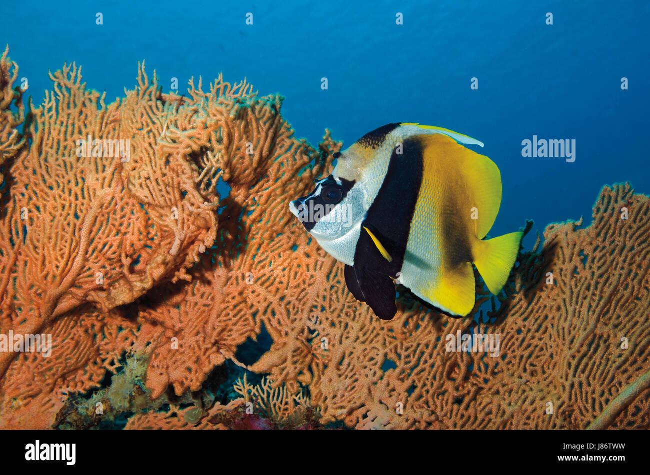 Masked bannerfish, Heniochus monoceros, against fan coral in Maldives, Indian Ocean - Stock Image