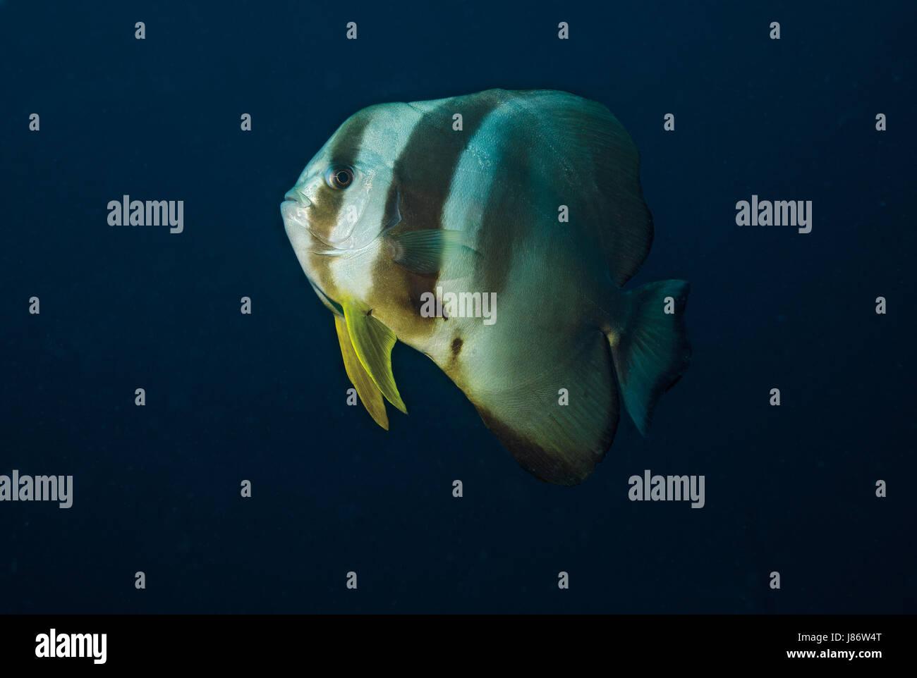 Side view of a Longfin Batfish, Platax teira, Ari Atoll, Indian Ocean, Maldives - Stock Image