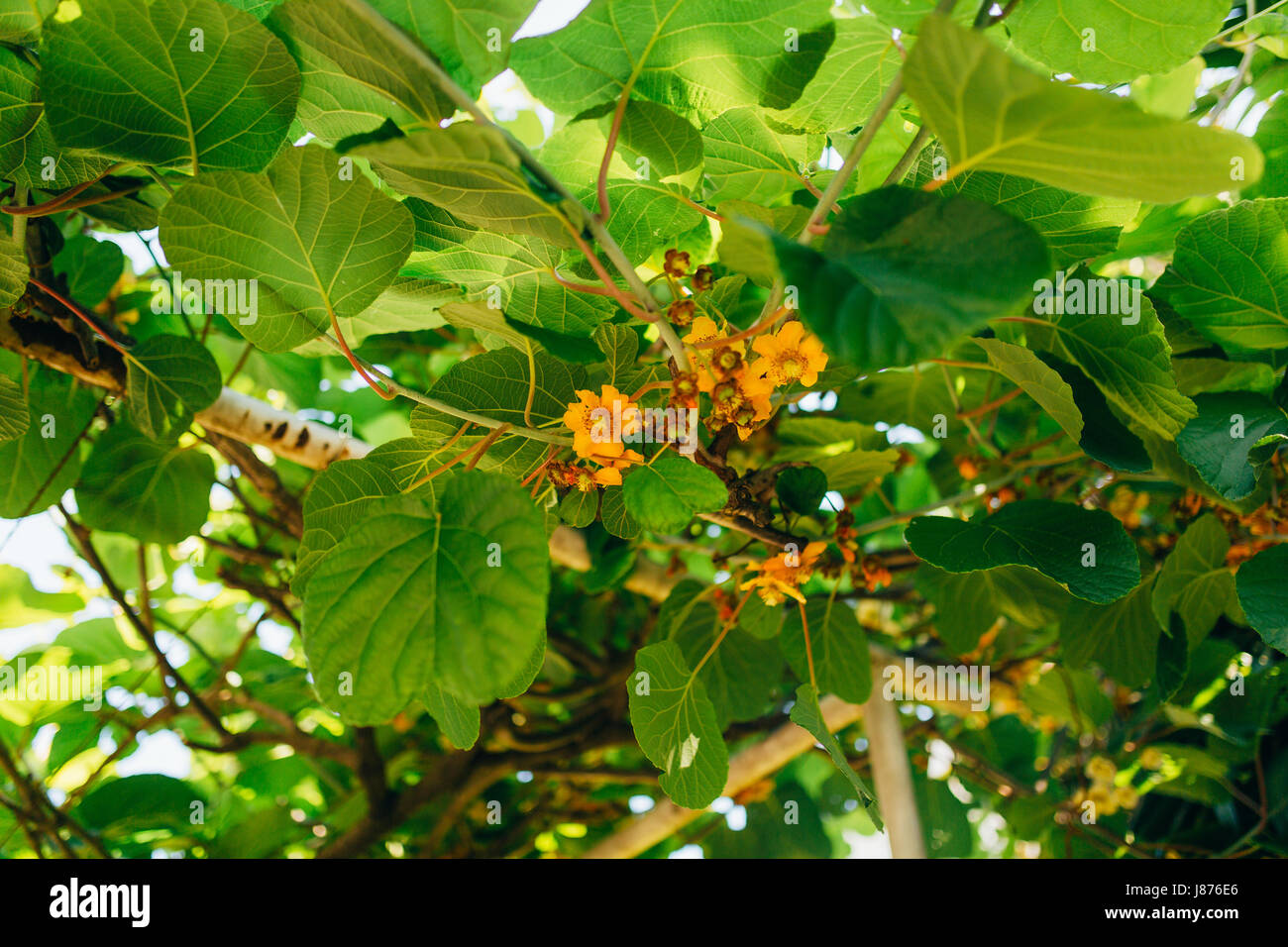 Flowering trees kiwi spring flowering vines kicks in montenegro flowering trees kiwi spring flowering vines kicks in montenegro mightylinksfo