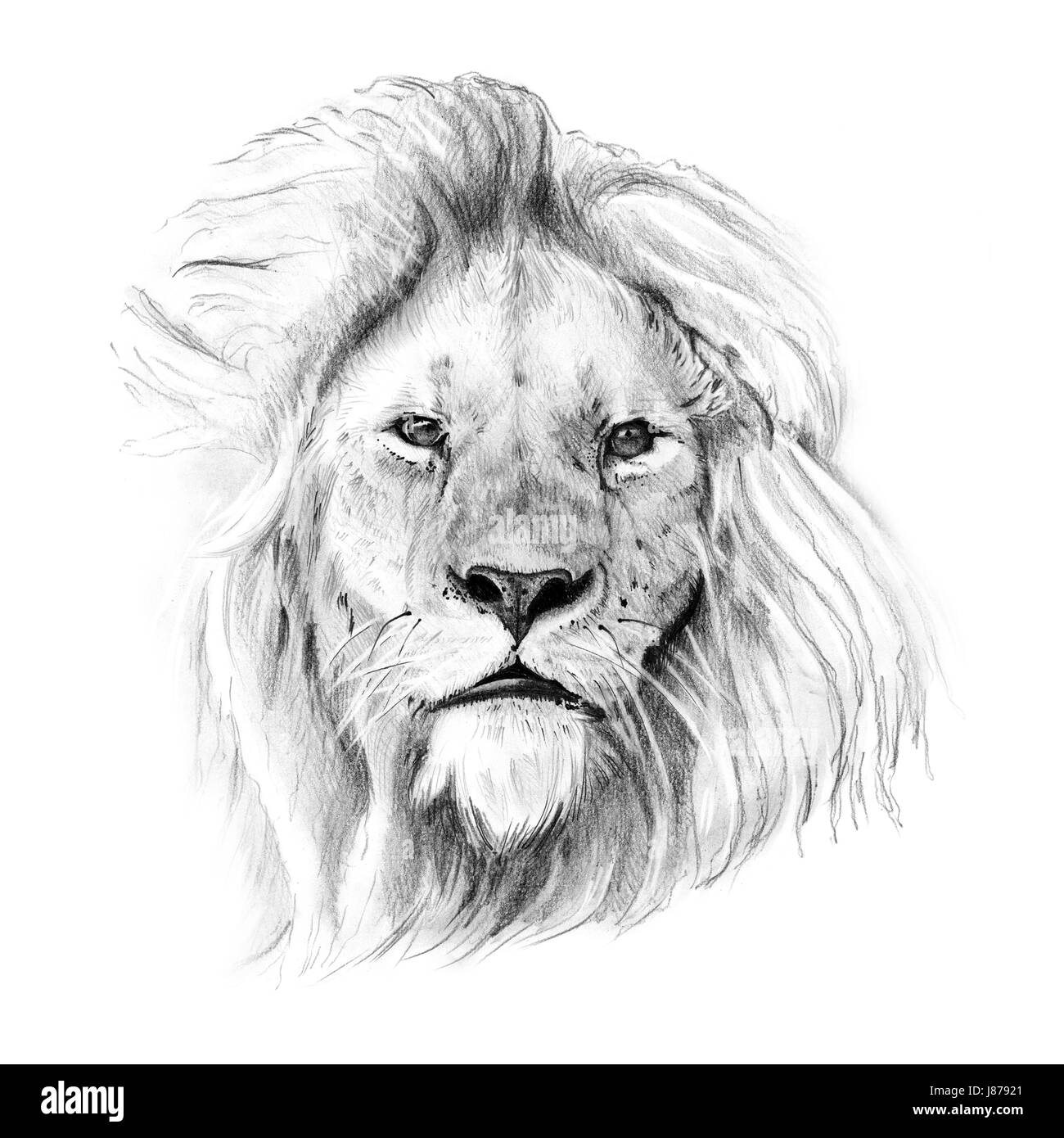 Portrait of lion drawn by hand in pencil originals no tracing stock image