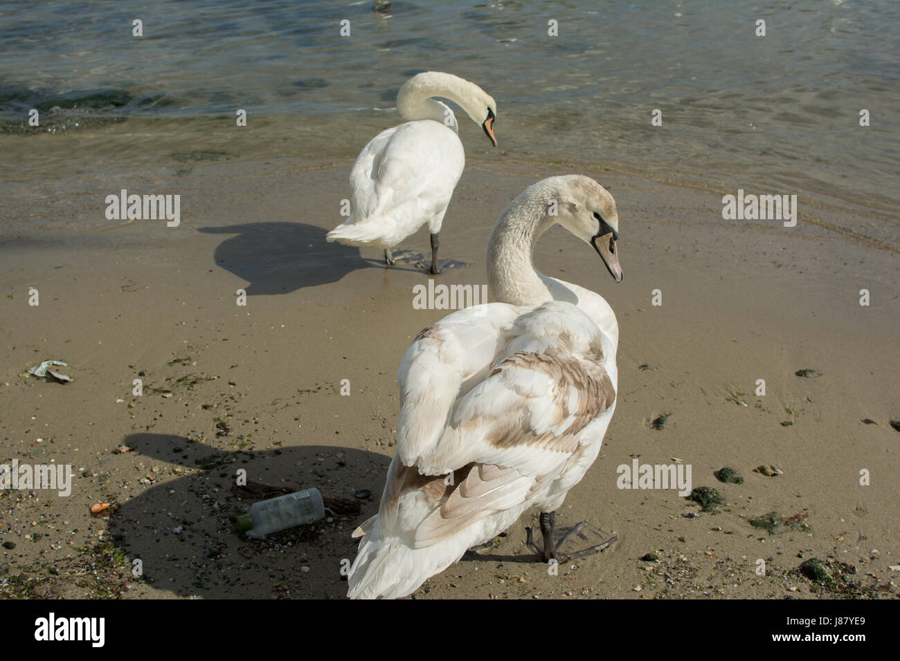 Birds swans white on dirty shore of the Black Sea in Bulgaria. - Stock Image