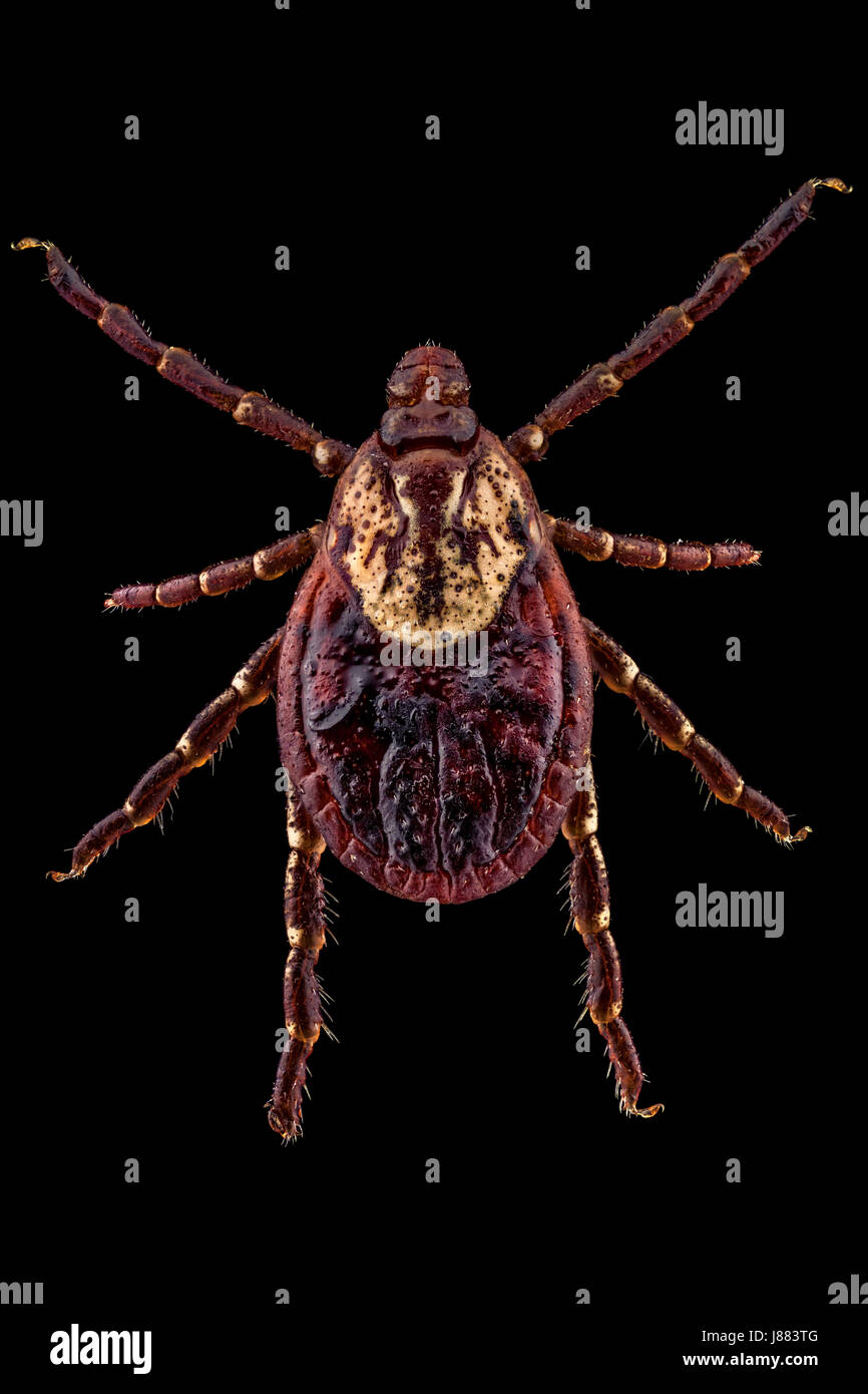 Dorsal view of an American Dog Tick (aka Dog Tick or Wood Tick). Females can be identified by their large off-white - Stock Image