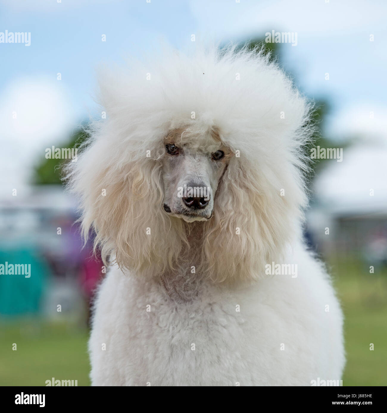 poodle standard - Stock Image
