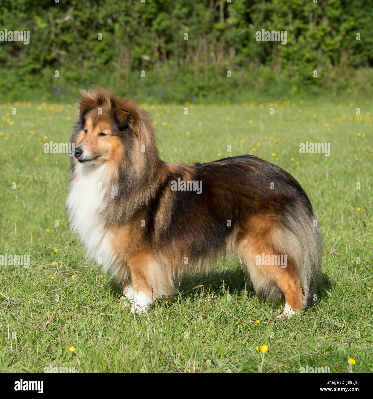 shetland sheep dog - Stock Image