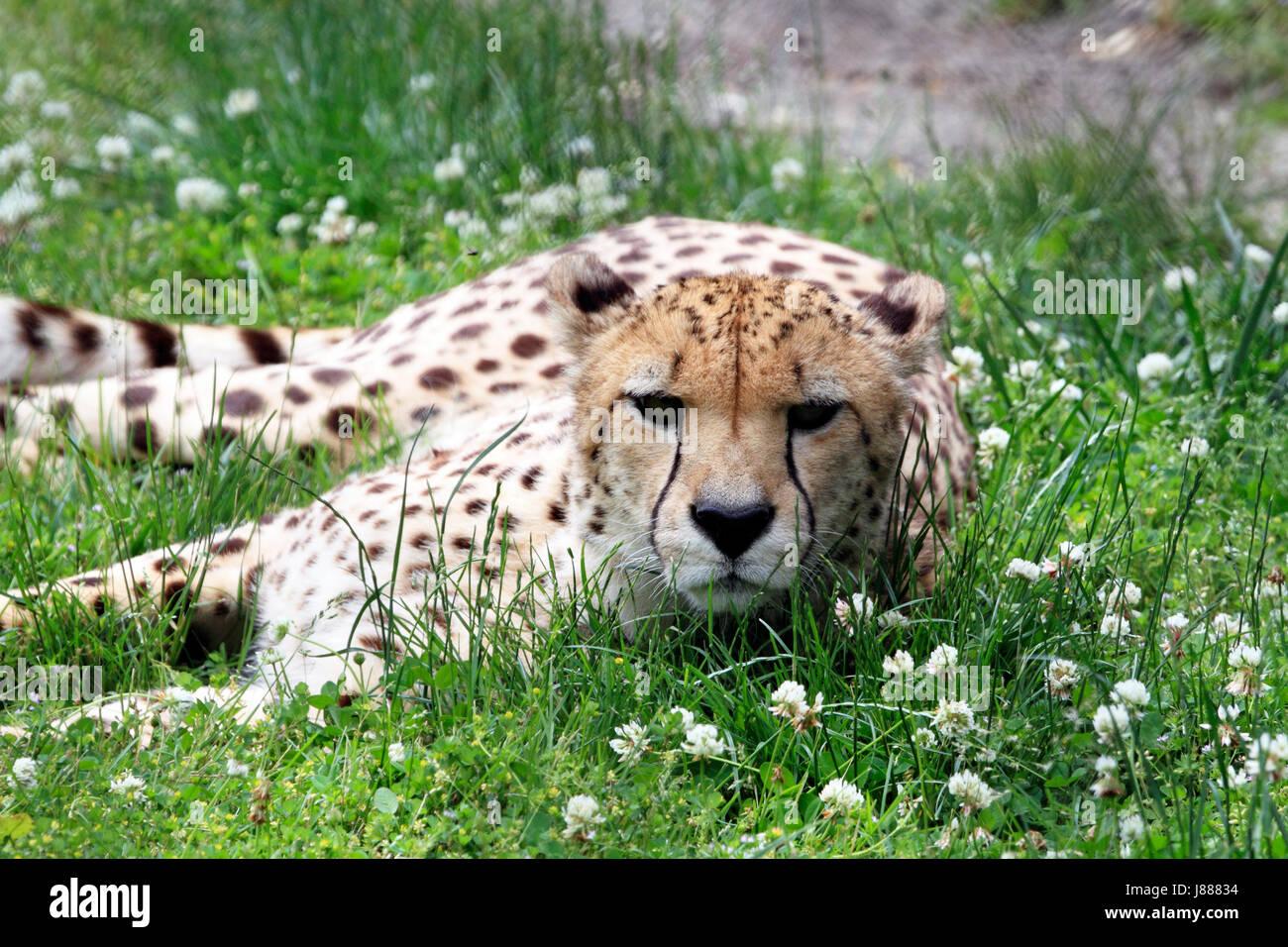 A Cheetah, Acinonyx jubatus - Stock Image
