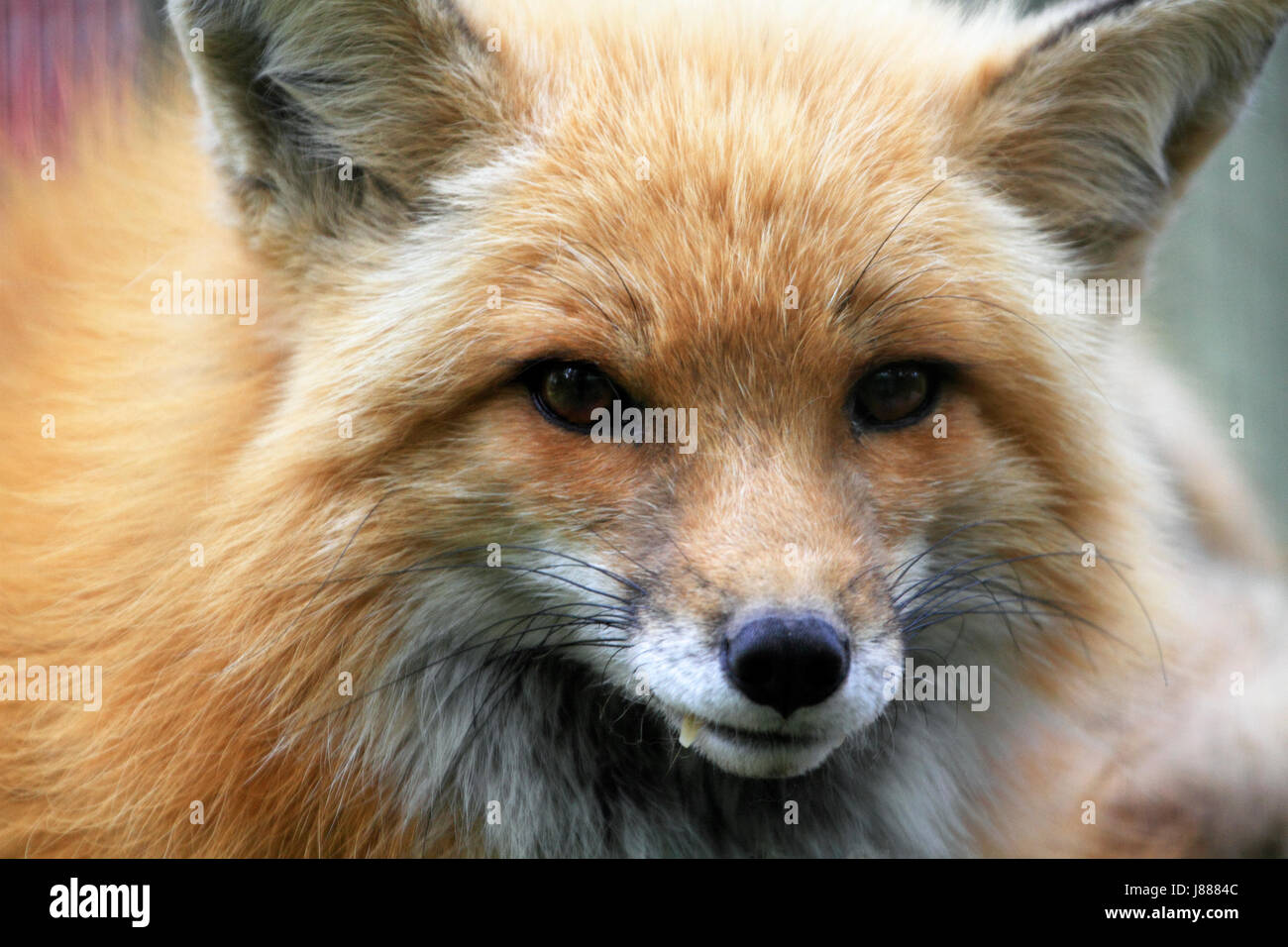 Red Fox, Vulpes vulpes, closeup - Stock Image