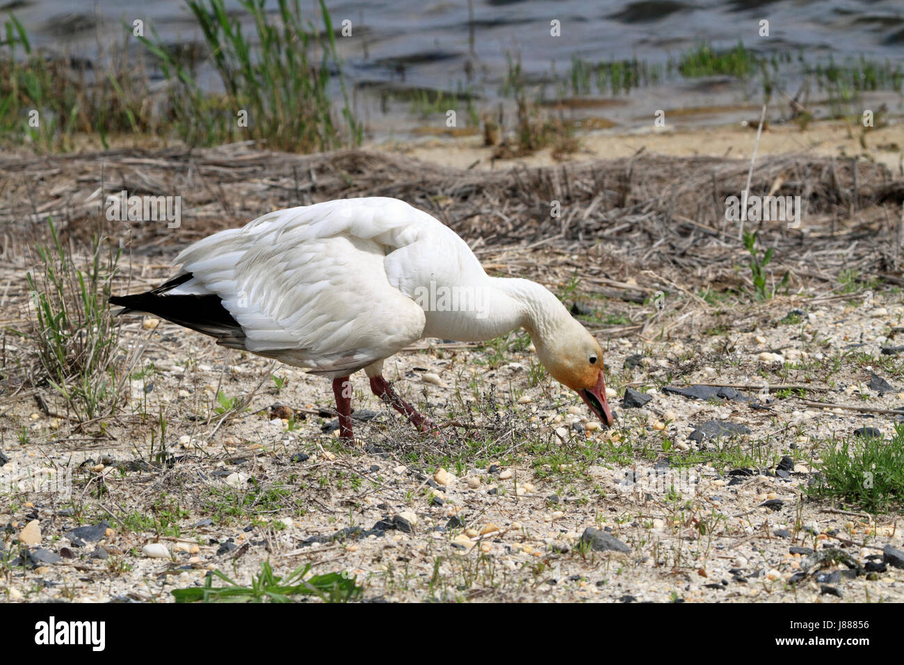 A Snow Goose, Chen caerulescens, at the Edwin B. Forsythe National Wildlife Refuge, New jersey, USA Stock Photo