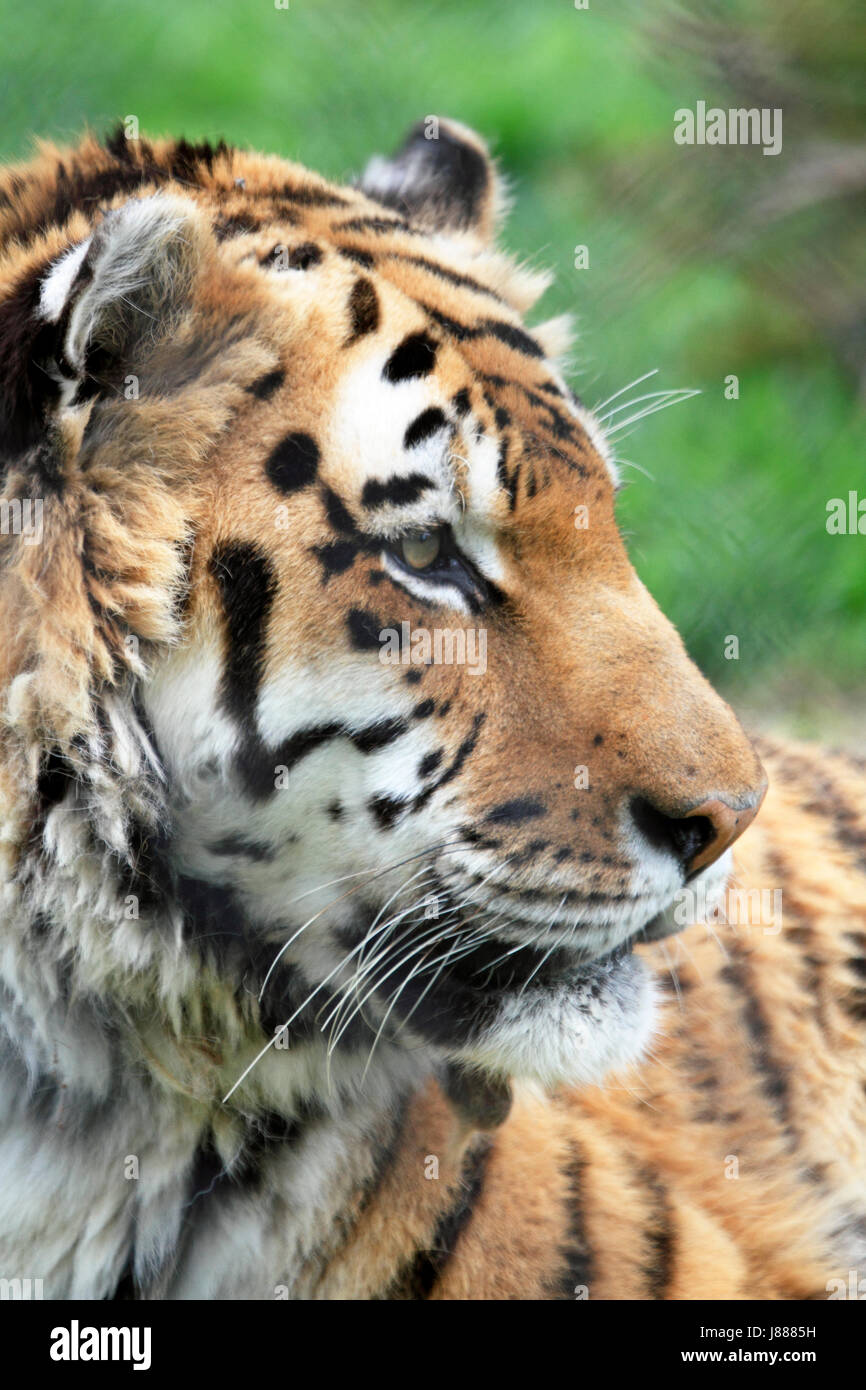 A Siberian Tiger or Amur Tiger, Panthera tigris altaica Stock Photo