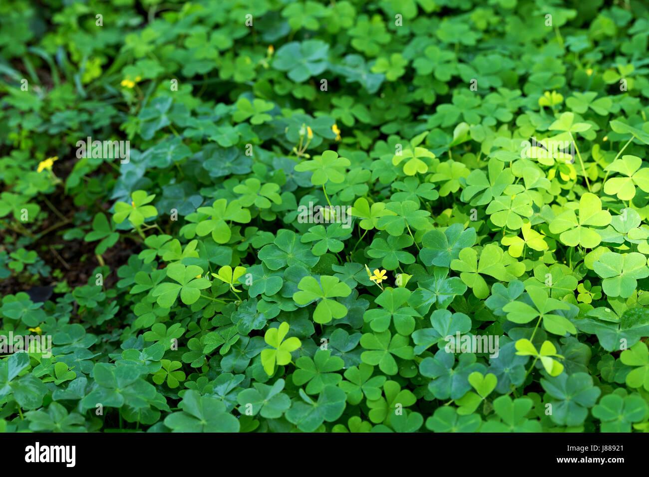 Four Leaf Clover Field Stock Photos Four Leaf Clover Field Stock