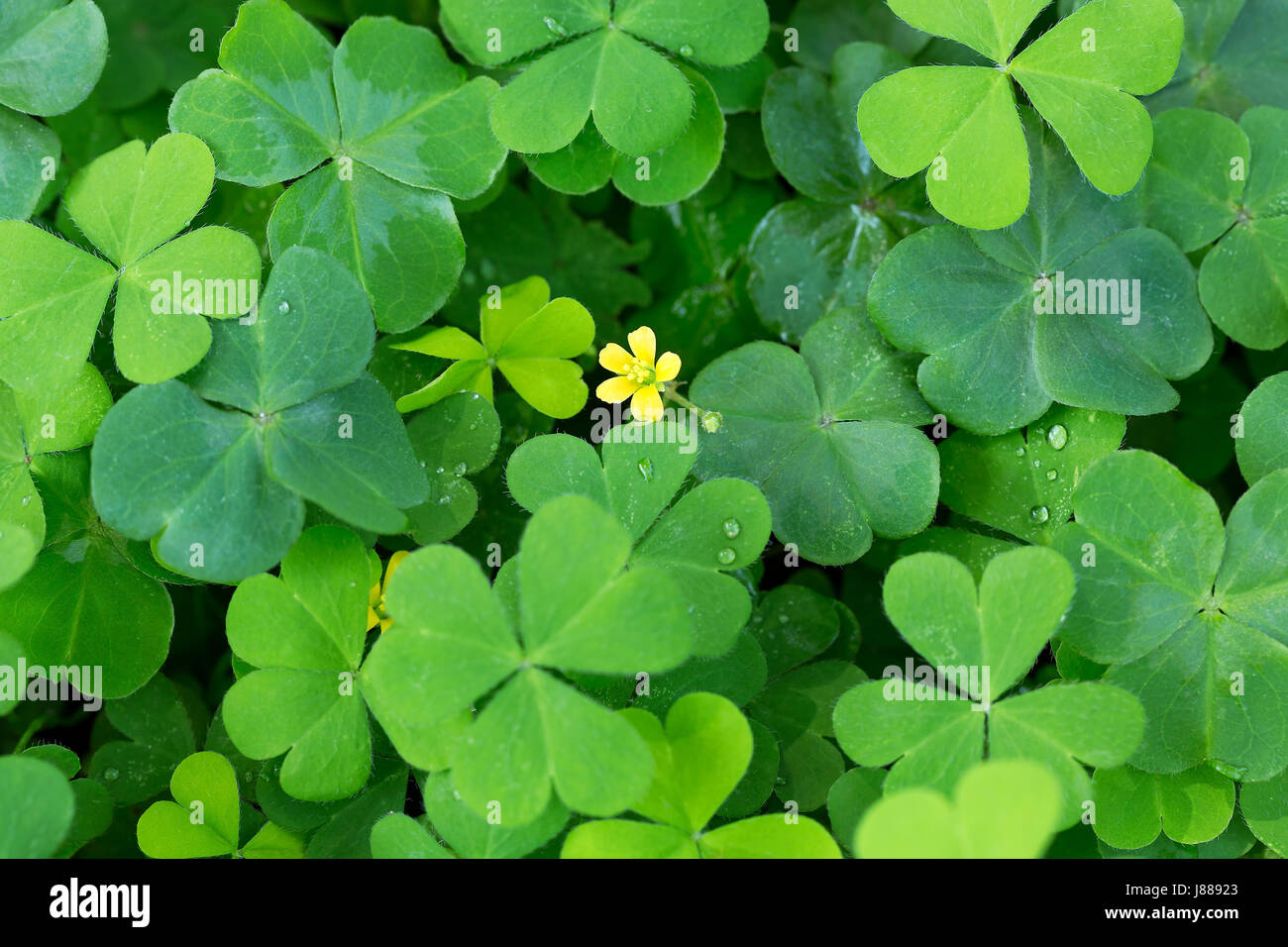 Clover And Little Yellow Flower Stock Photo 142782923 Alamy